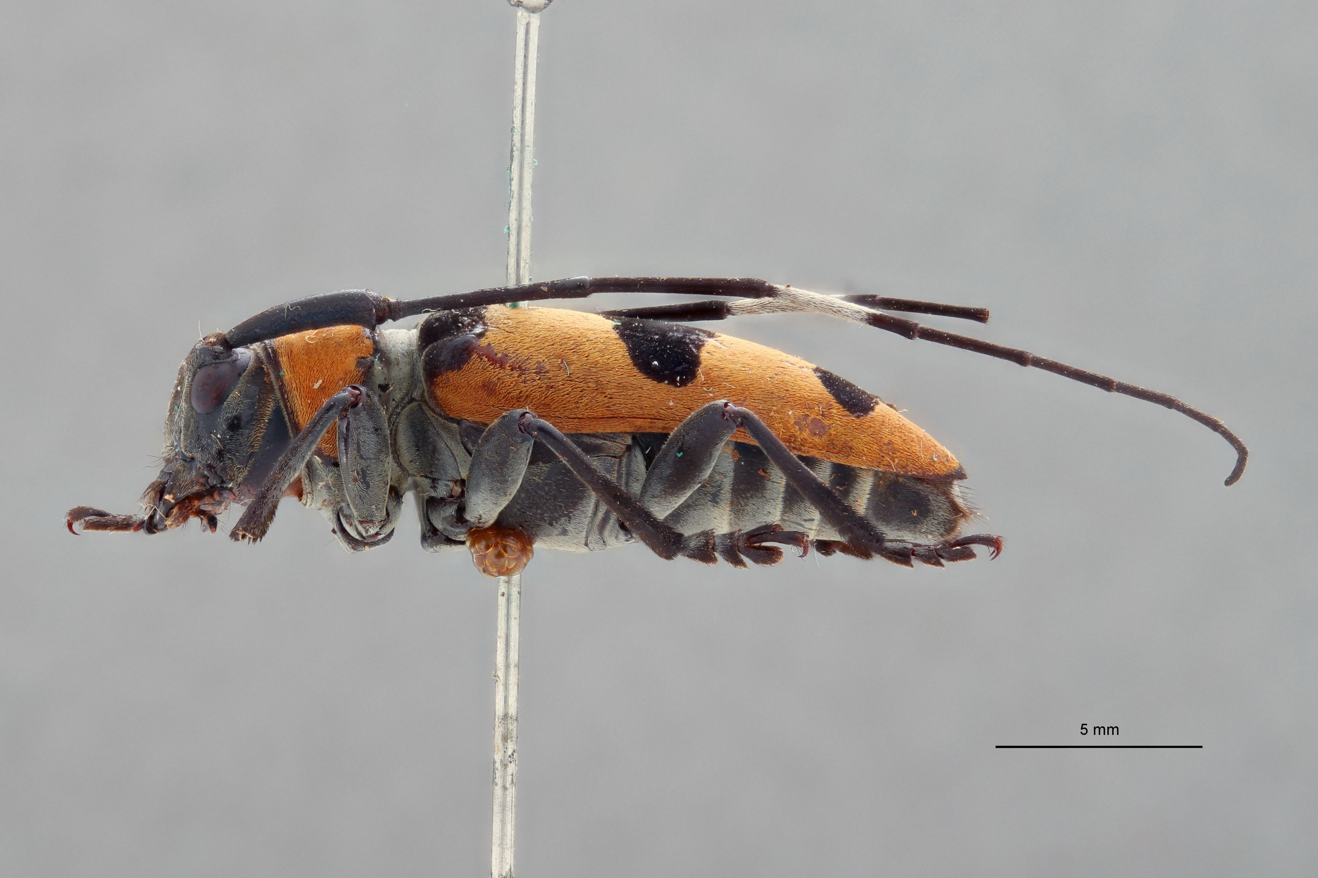 Cereopsius quaestor connecta pt L.jpg