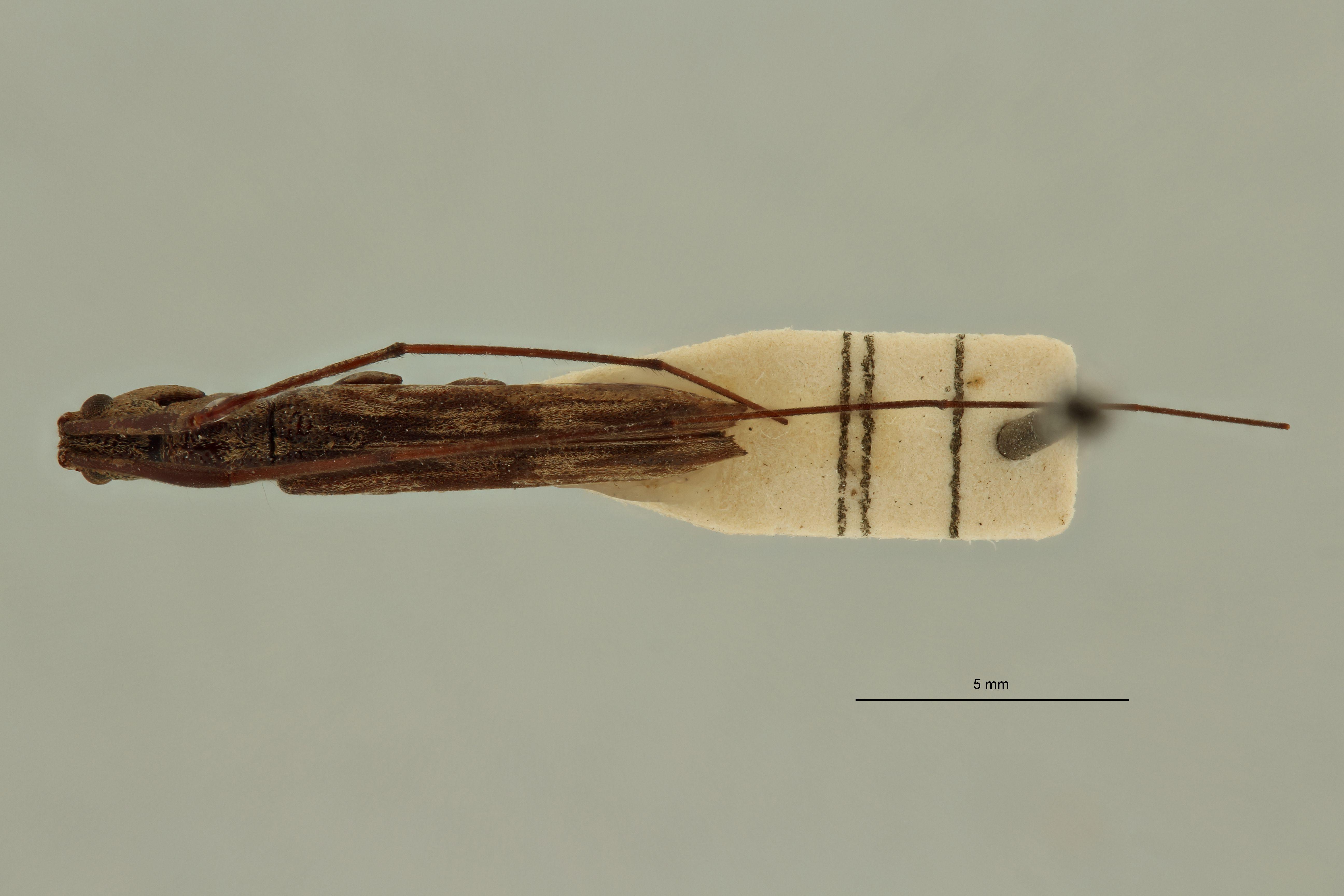 Cleptometopus invitticollis ht D.jpg