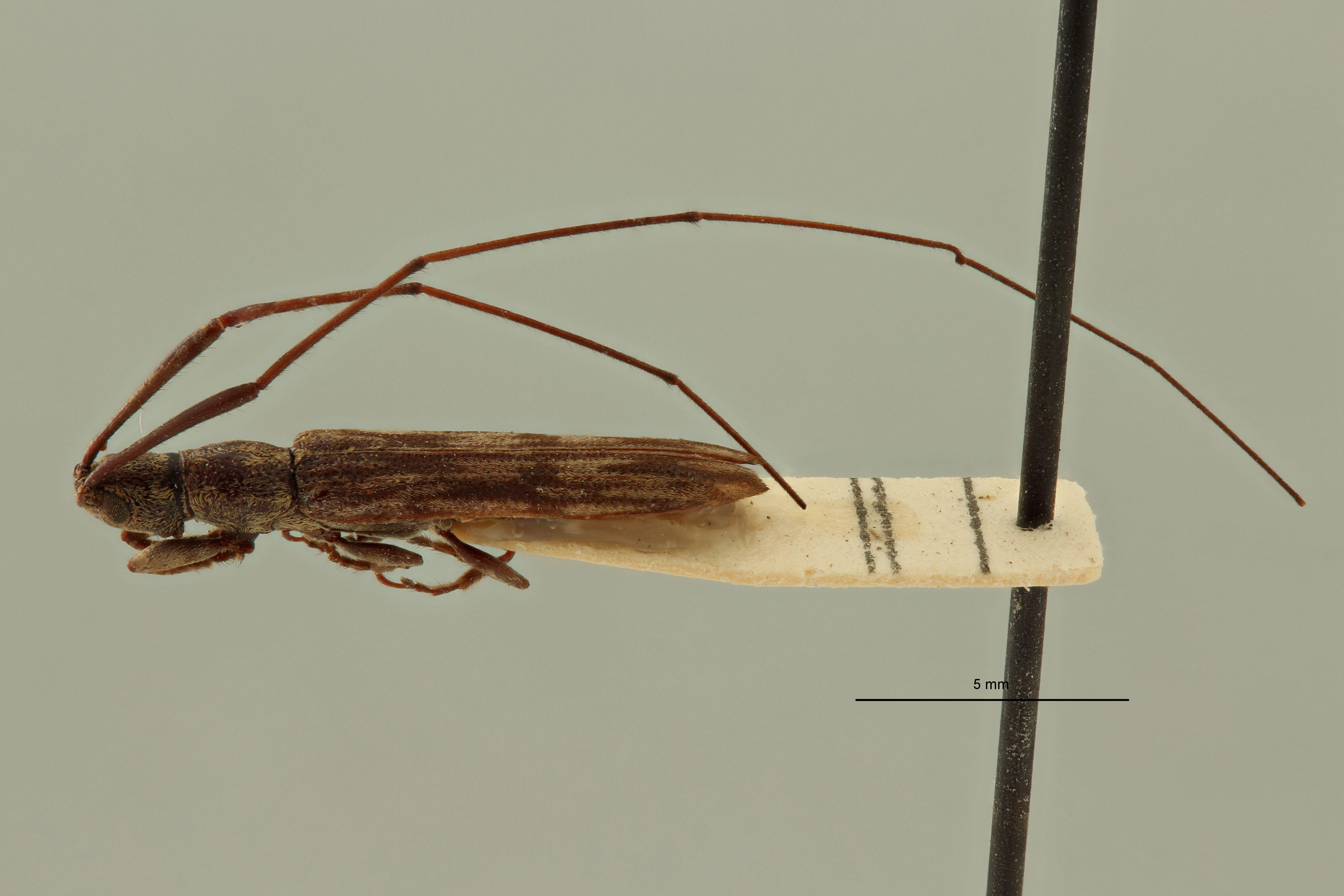 Cleptometopus invitticollis ht L.jpg