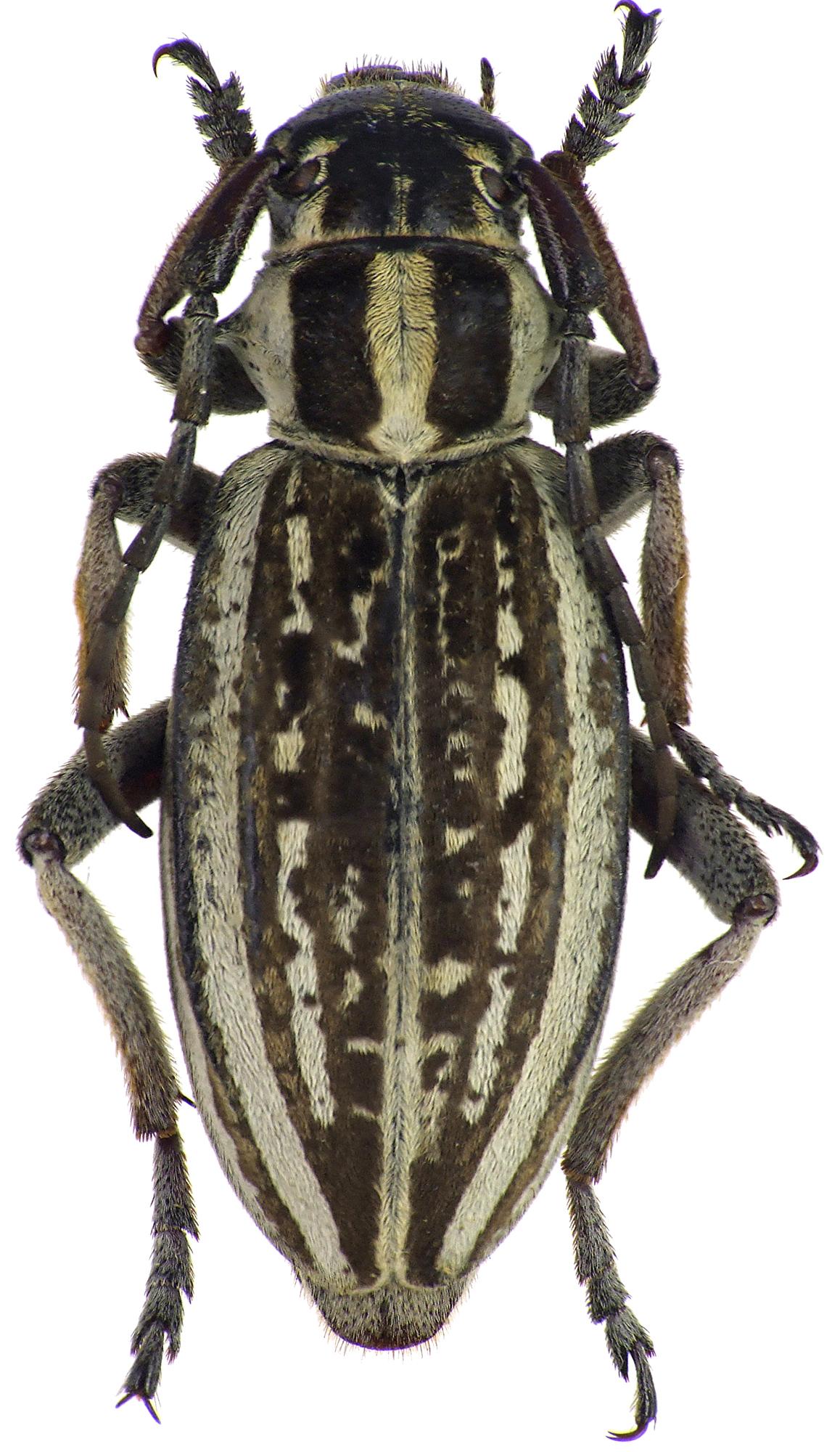 Dorcadion (Acutodorcadion) pantherinum shamaevi 68316cz24.jpg