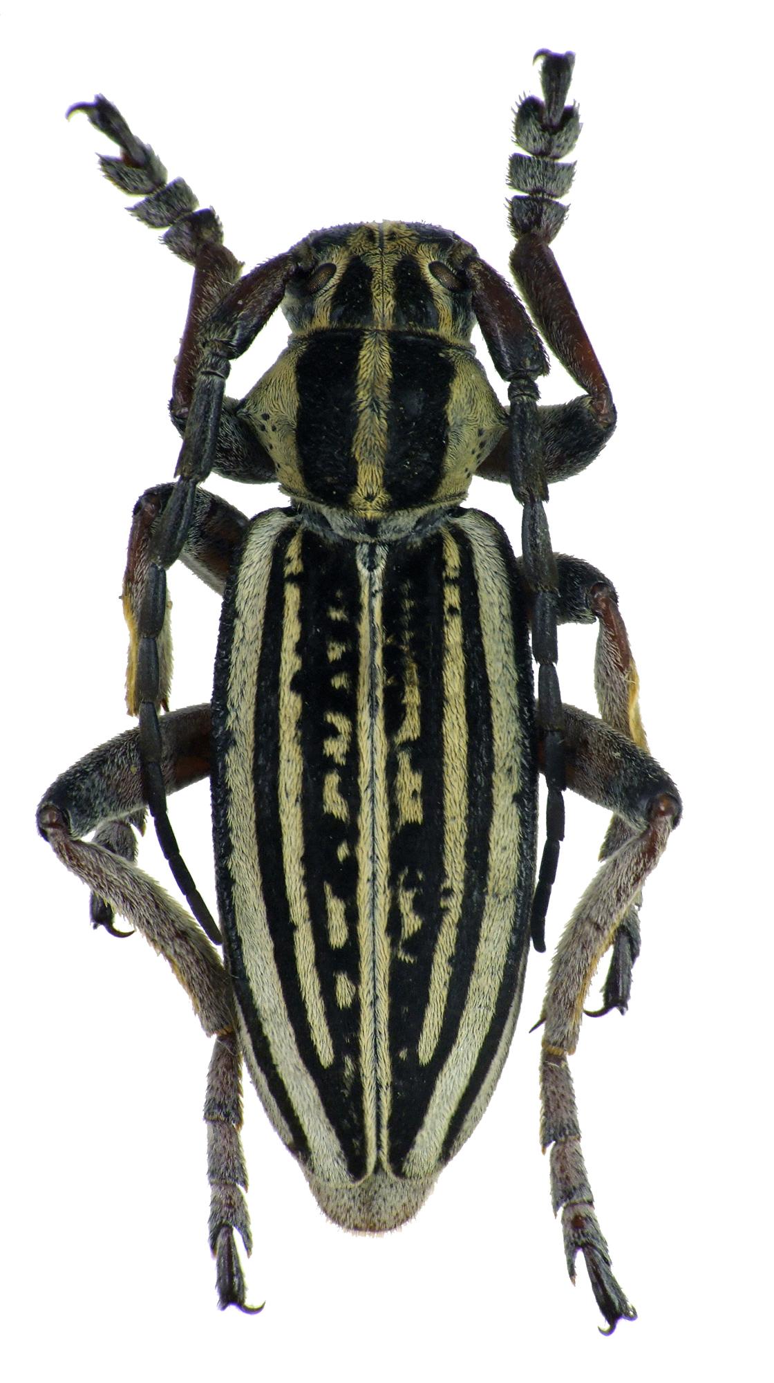 Dorcadion (Acutodorcadion) pantherinum shamaevi 68309cz15.jpg
