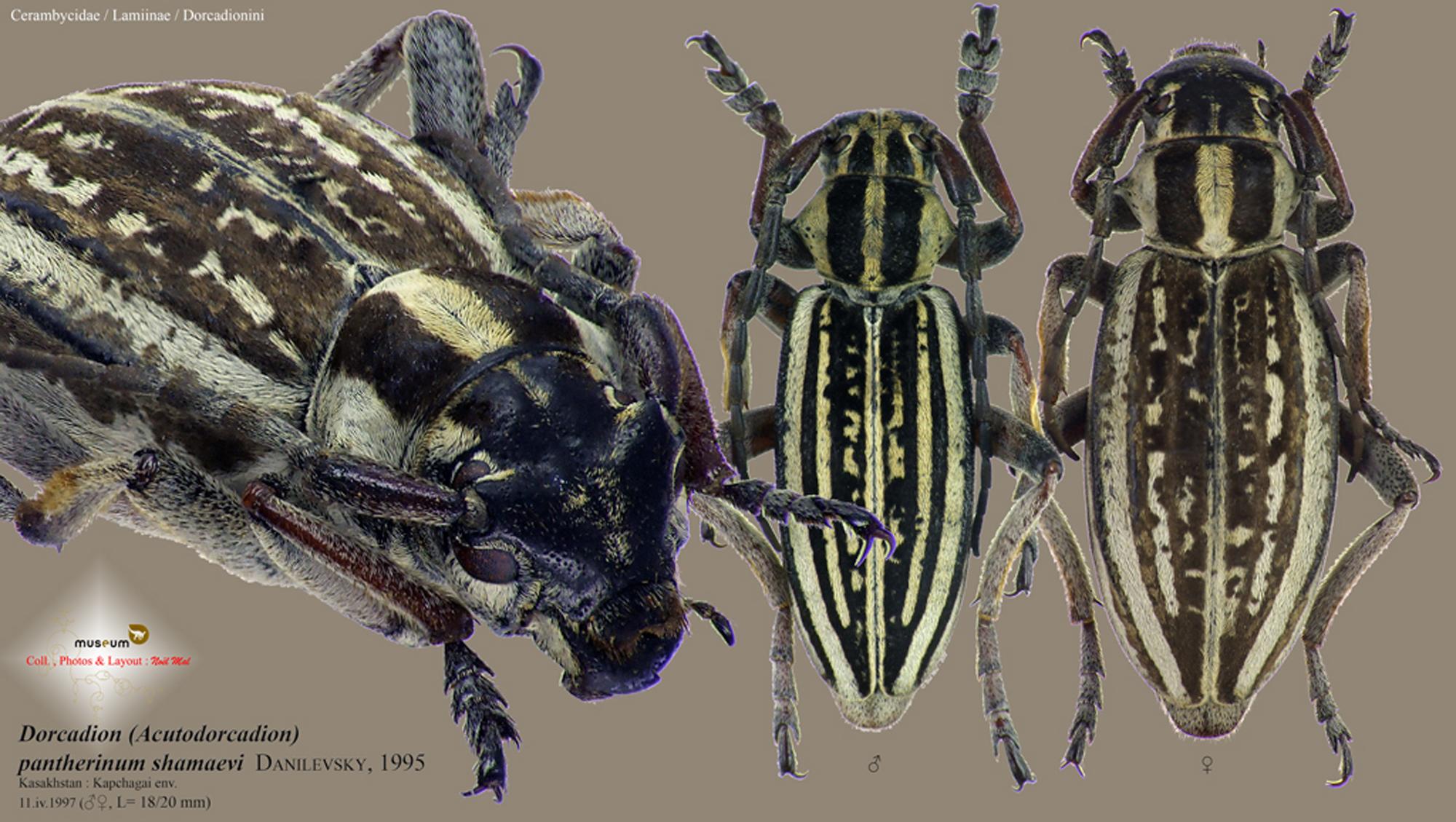 Dorcadion (Acutodorcadion) pantherinum shamaevi.jpg