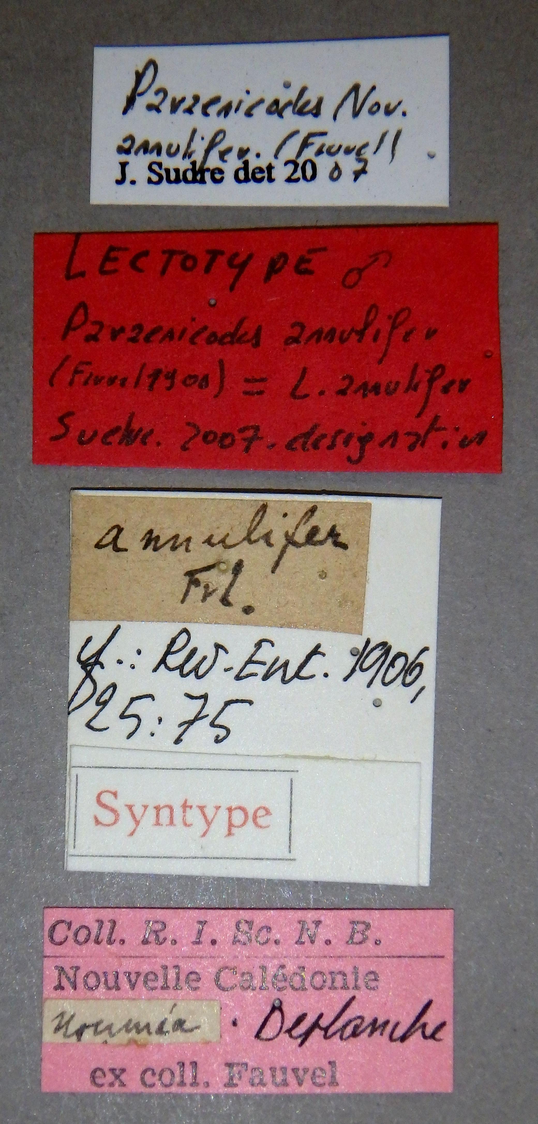Paraenicodes annulifer lt Lb.JPG