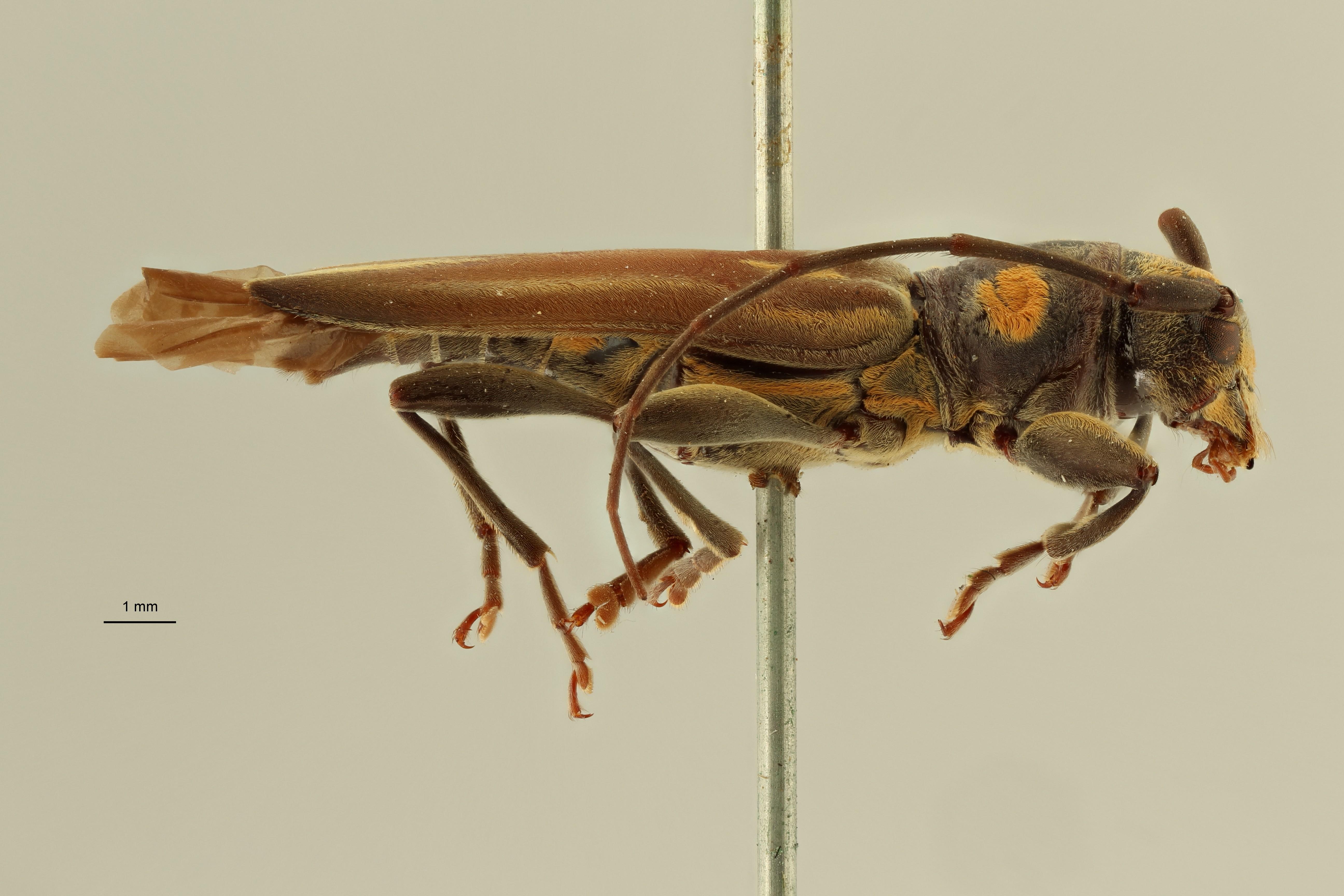 Enicodes bimaculatus st1 L ZS PMax Scaled.jpeg