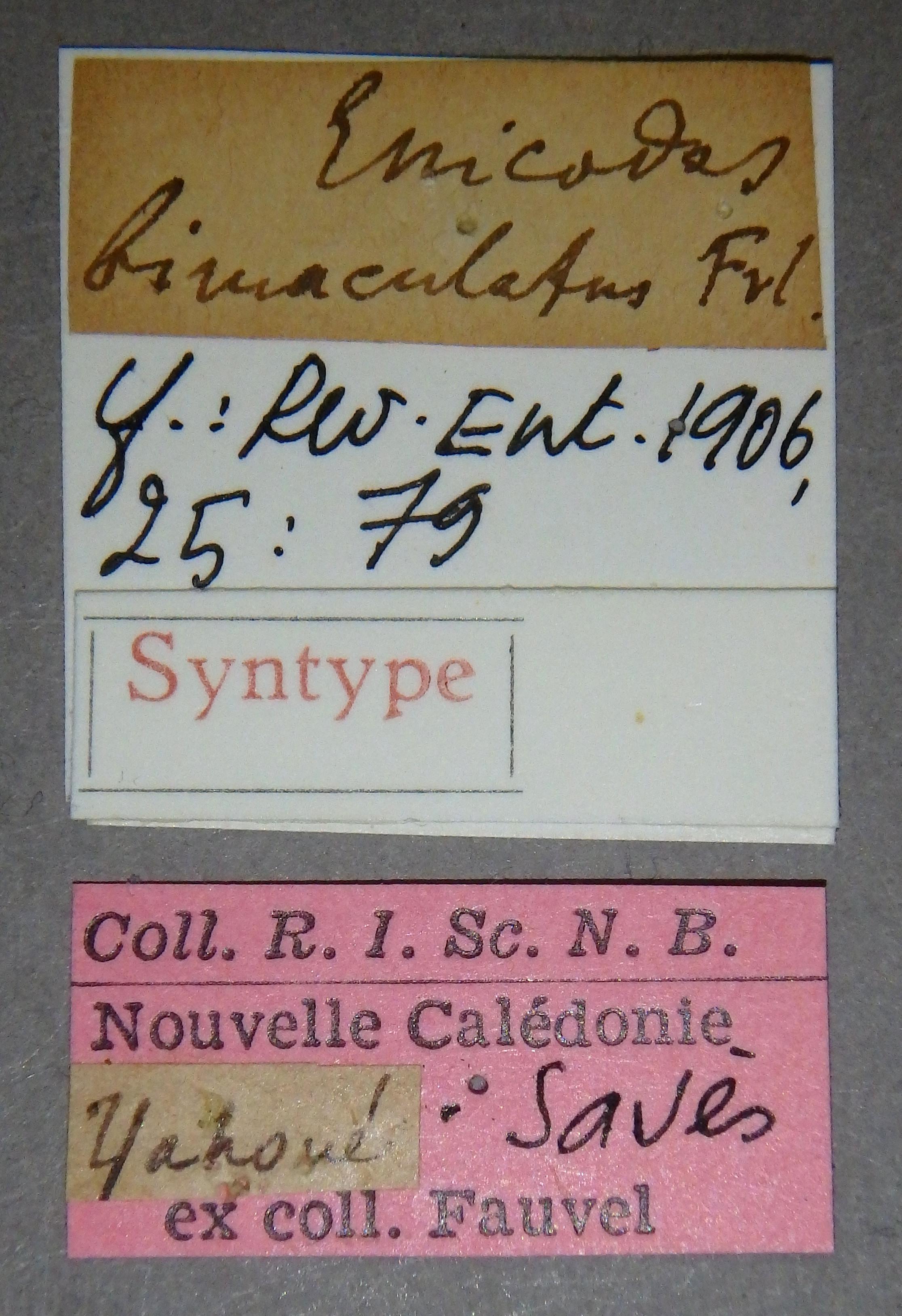 Enicodes bimaculatus st1 Lb.JPG