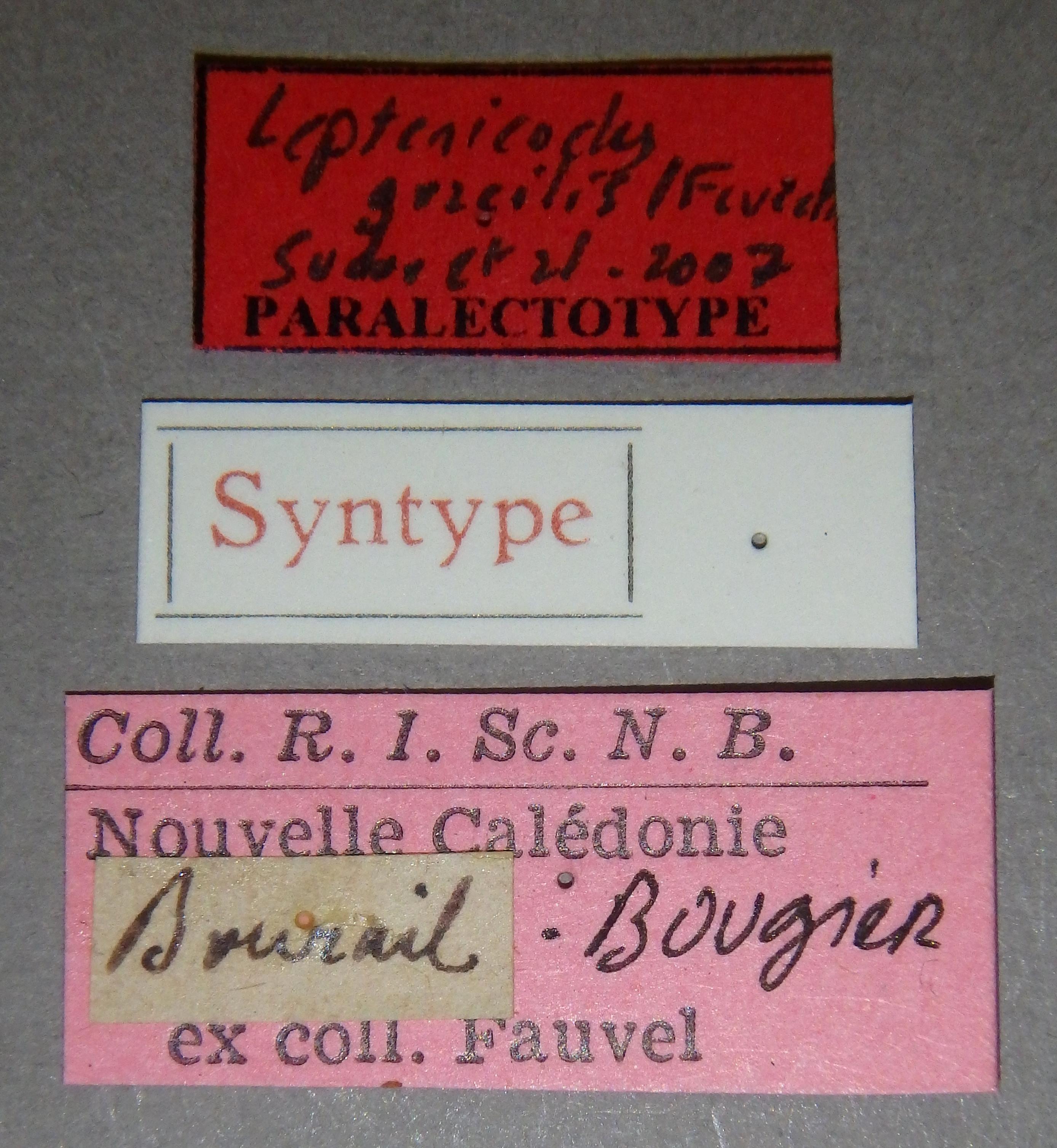 Leptenicodes gracilis plt1 Lb.JPG