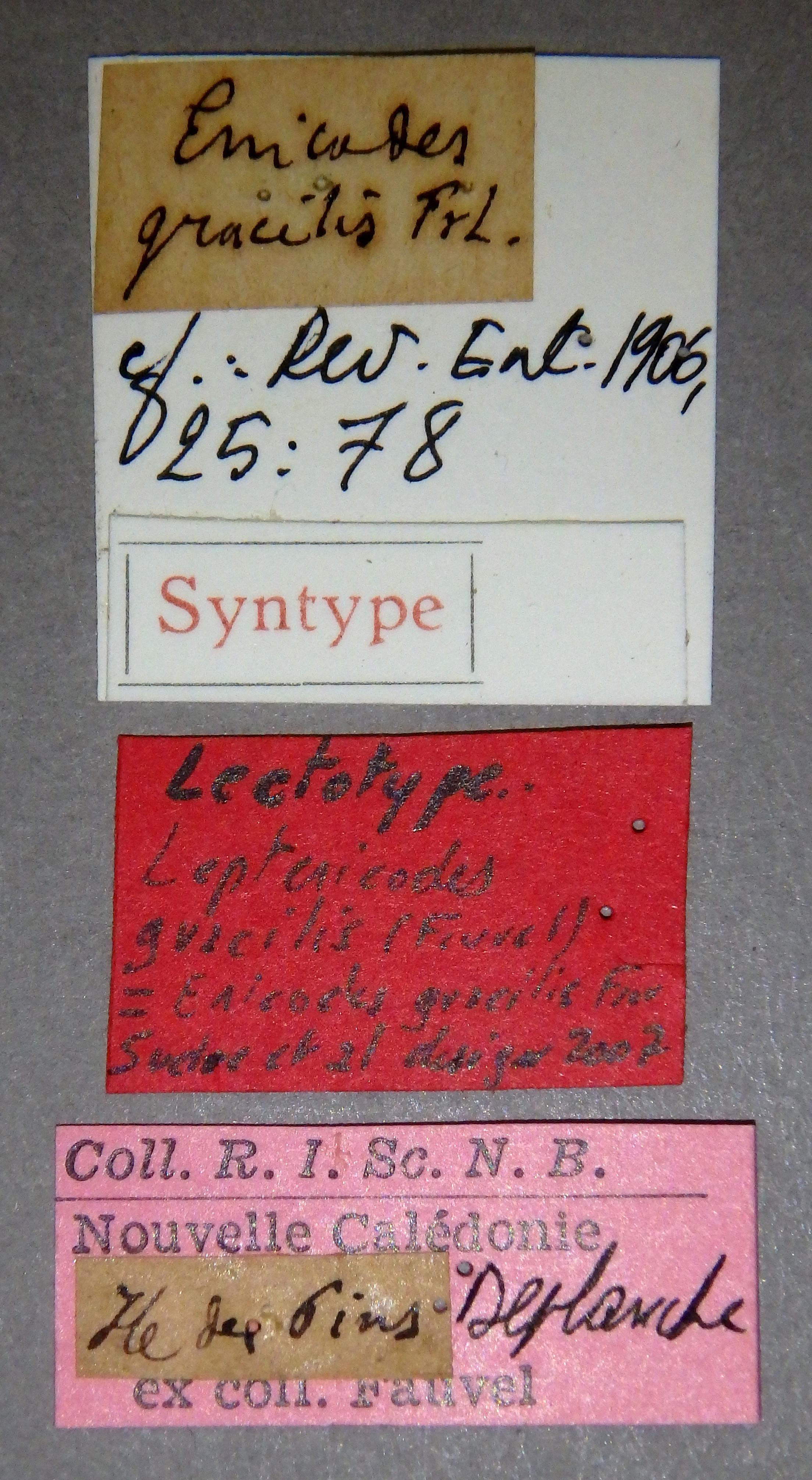 Leptenicodes gracilis lt Lb.JPG
