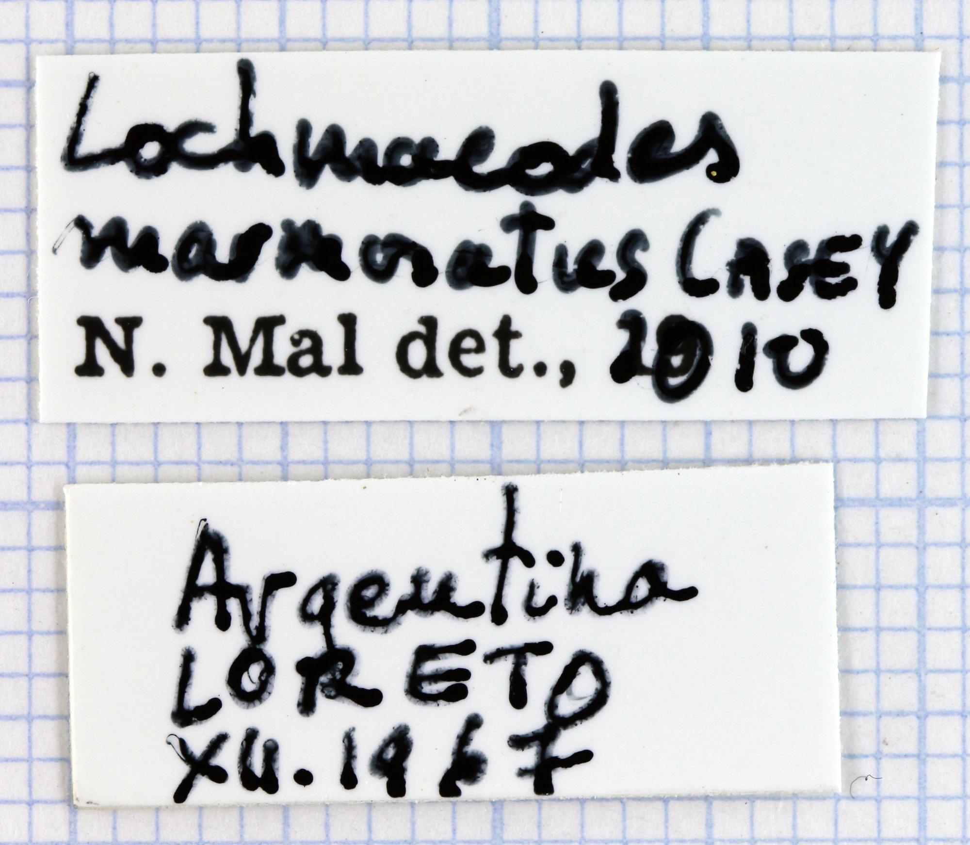 Lochmaeocles marmoratus 31731.jpg
