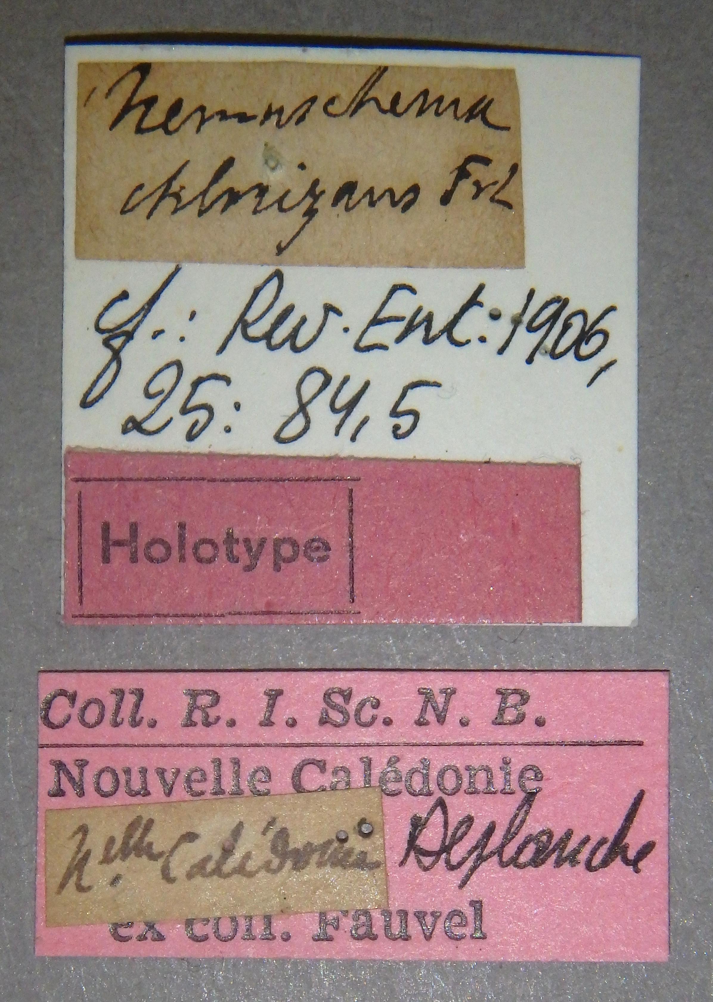 Nemaschema chlorizans ht Lb.JPG