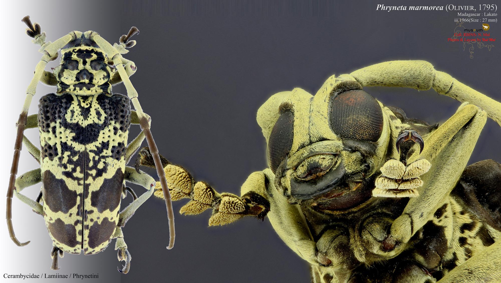 Phryneta marmorea.jpg