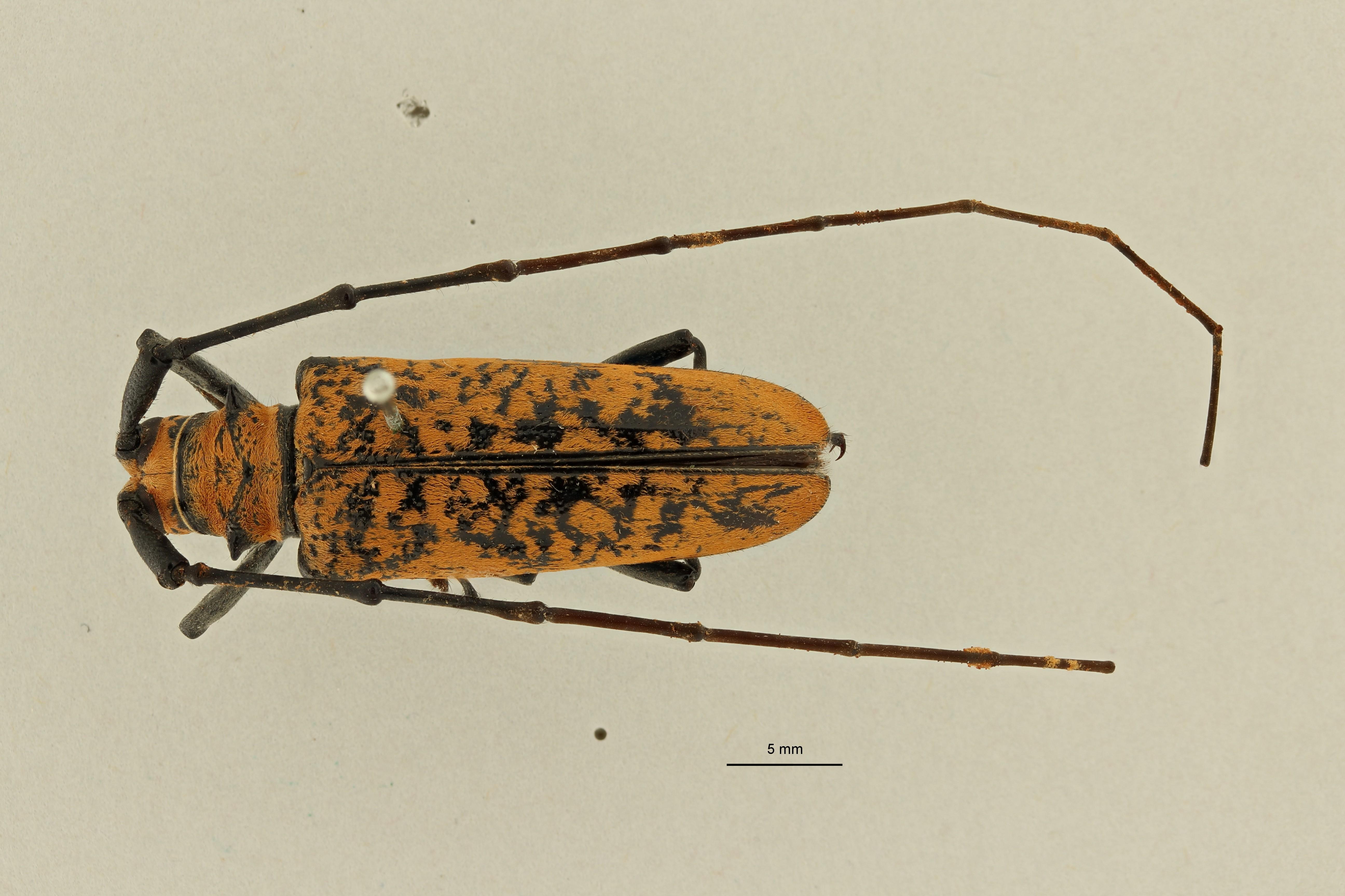 Plagiohammus rotundipennis ht D ZS PMax Scaled.jpeg