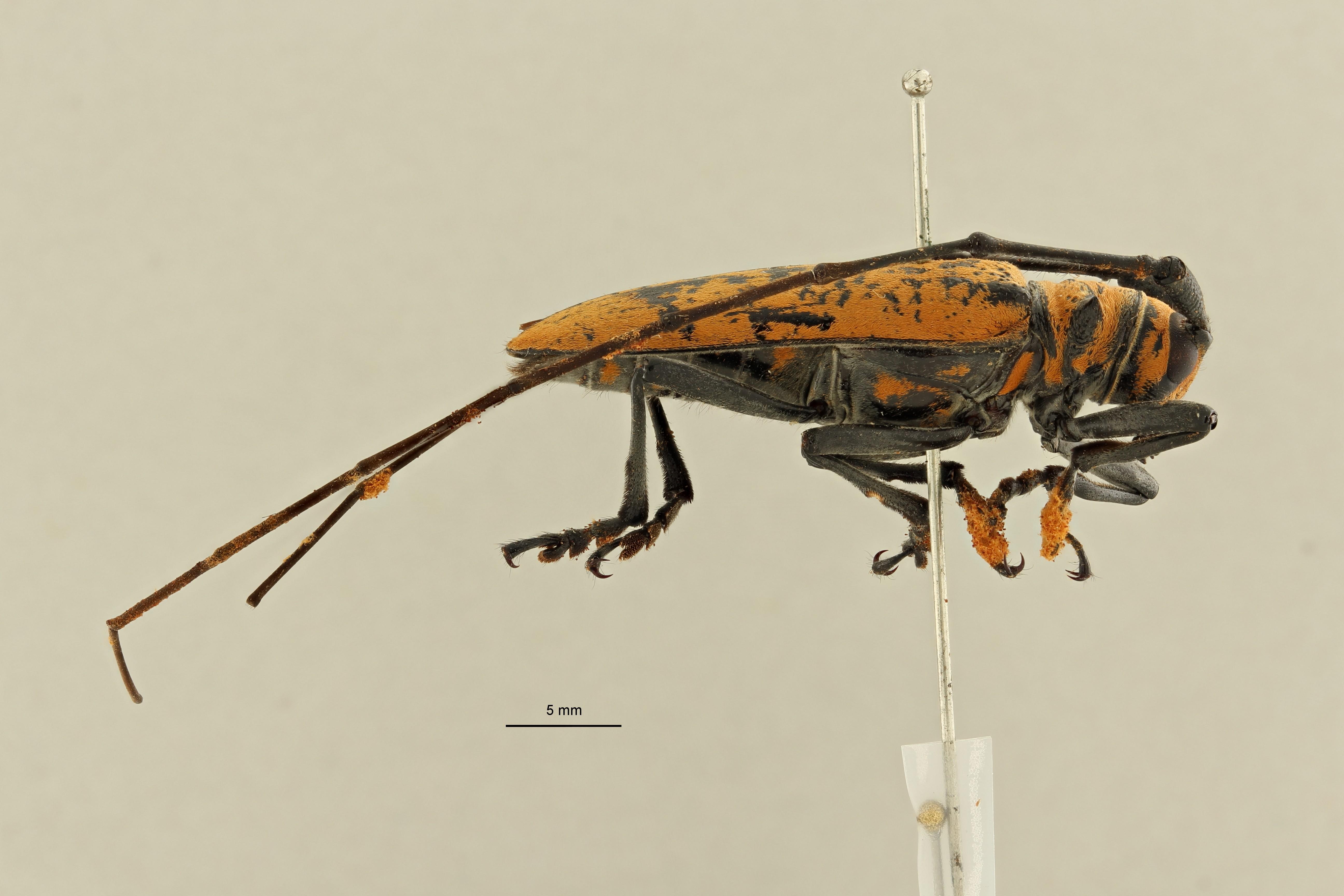 Plagiohammus rotundipennis ht L ZS PMax Scaled.jpeg