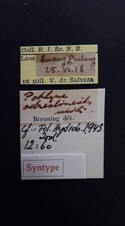 Pothyne ochreolineata st Labels.jpg