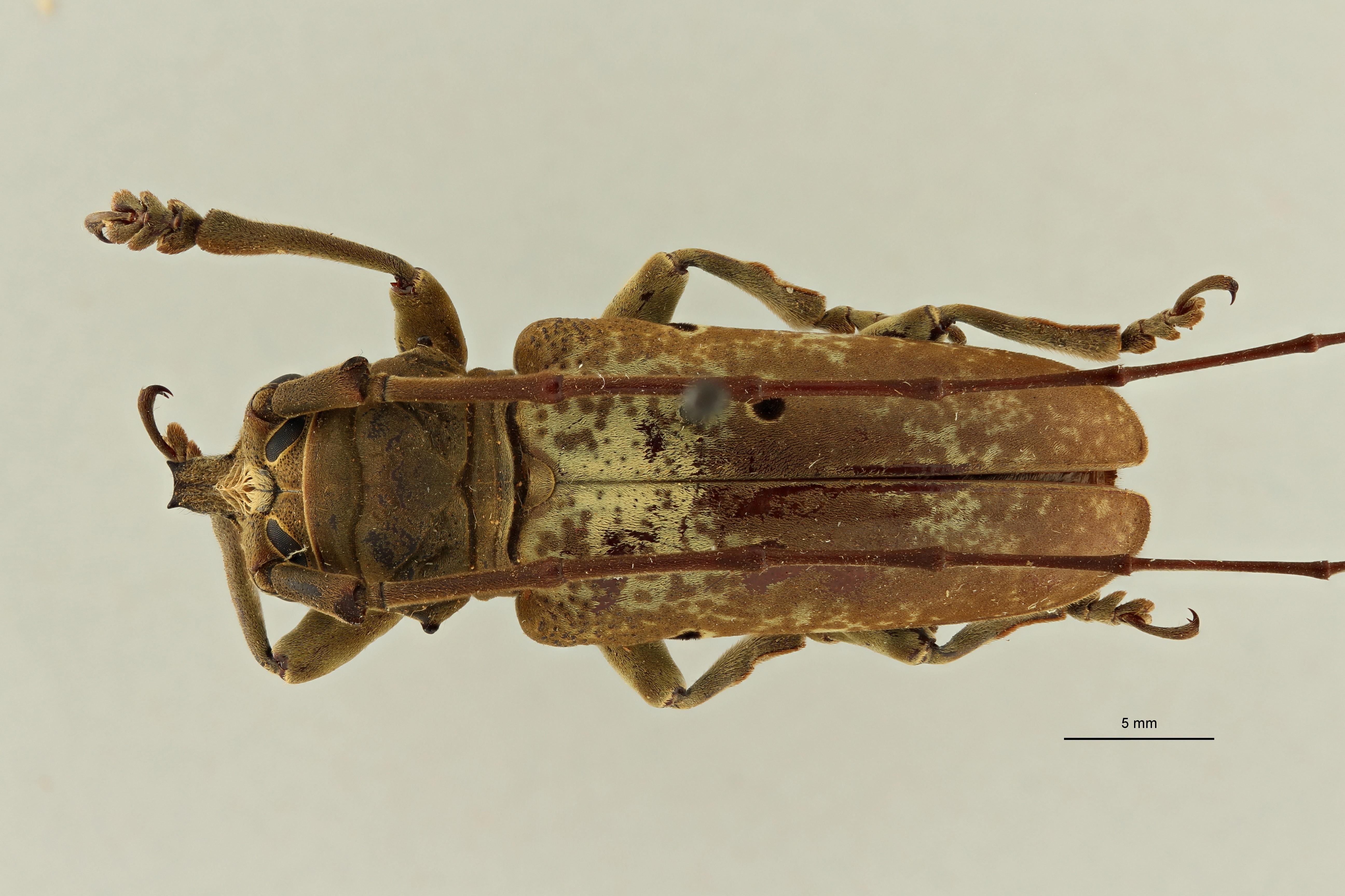 Prosopocera bipunctata bioculata st M D ZS PMax Scaled.jpeg