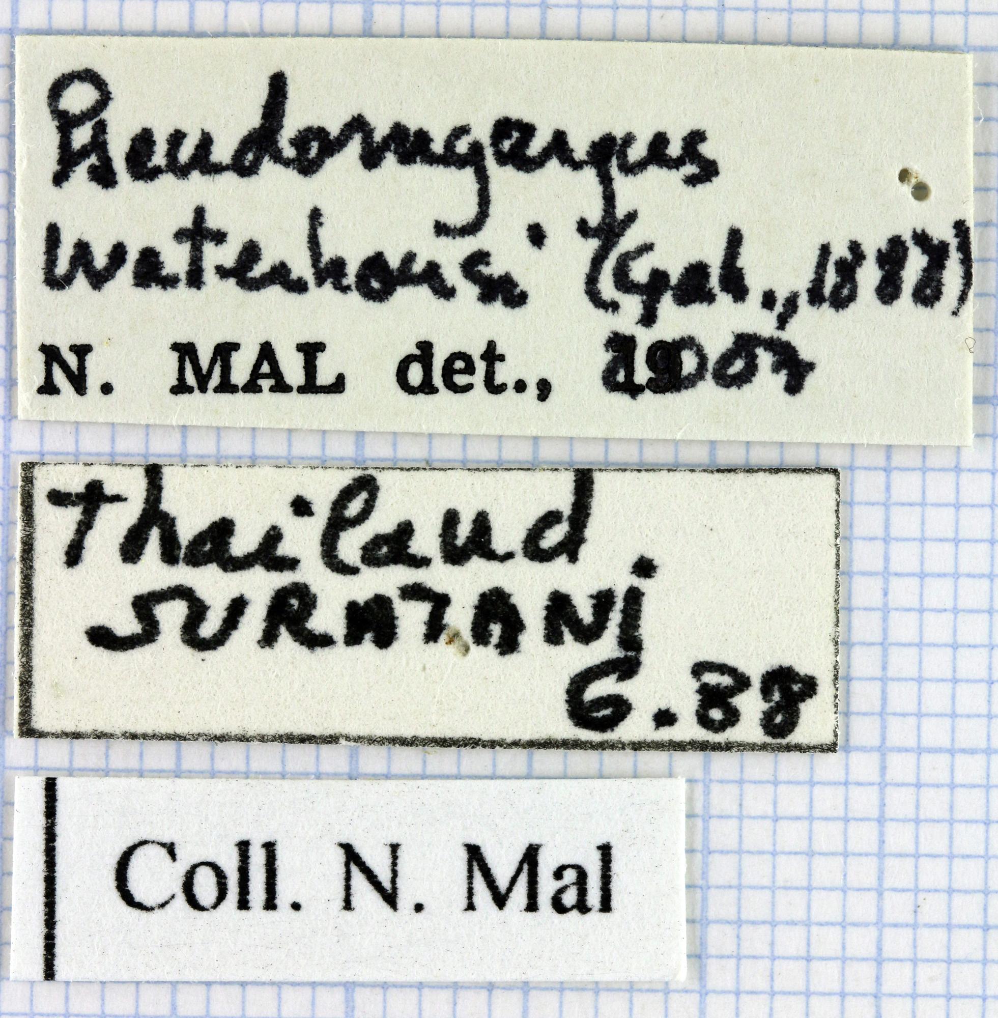 Pseudomyagrus waterhousei32451.jpg