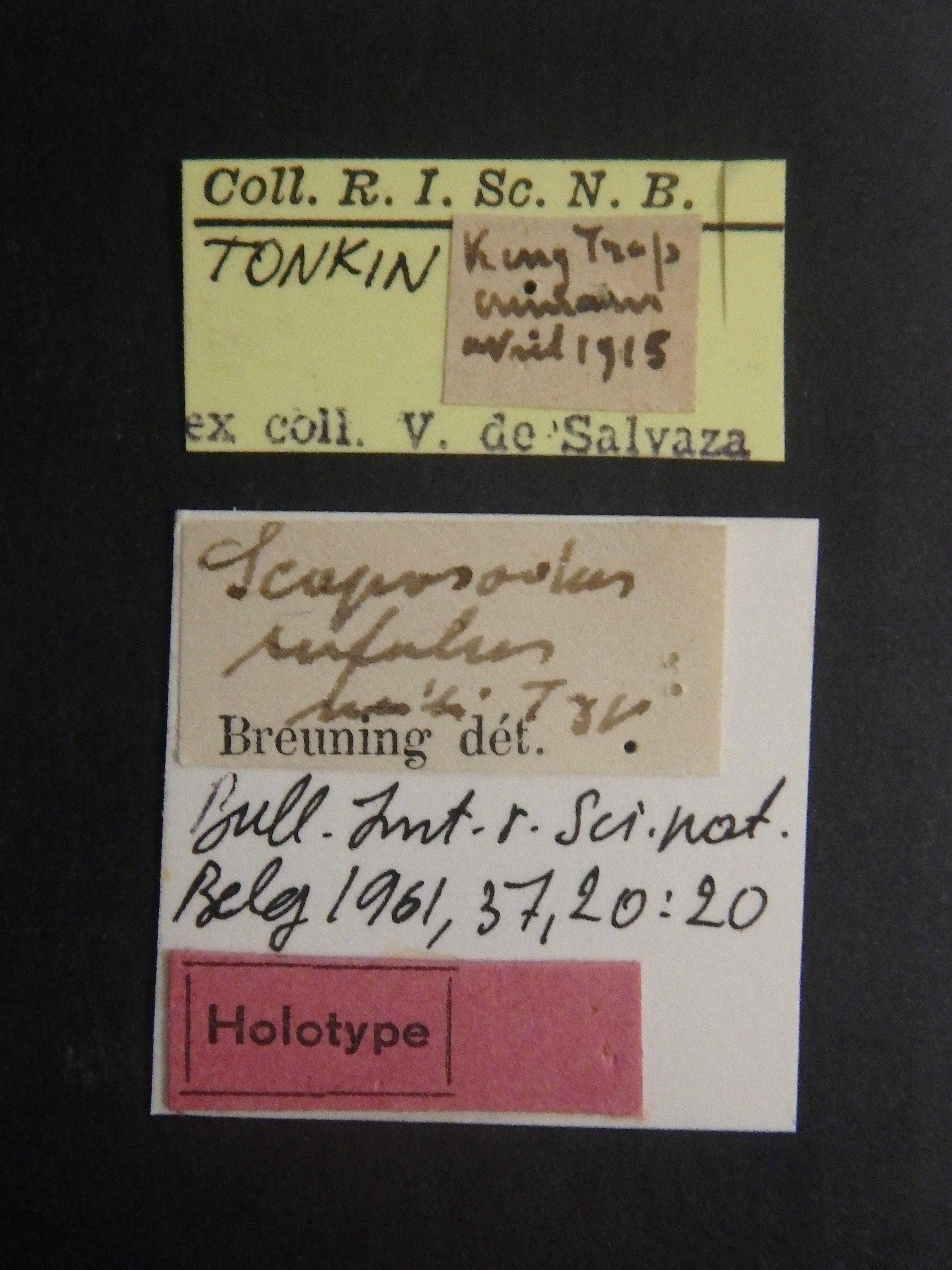 Scaposodus rufulus ht Labels.JPG