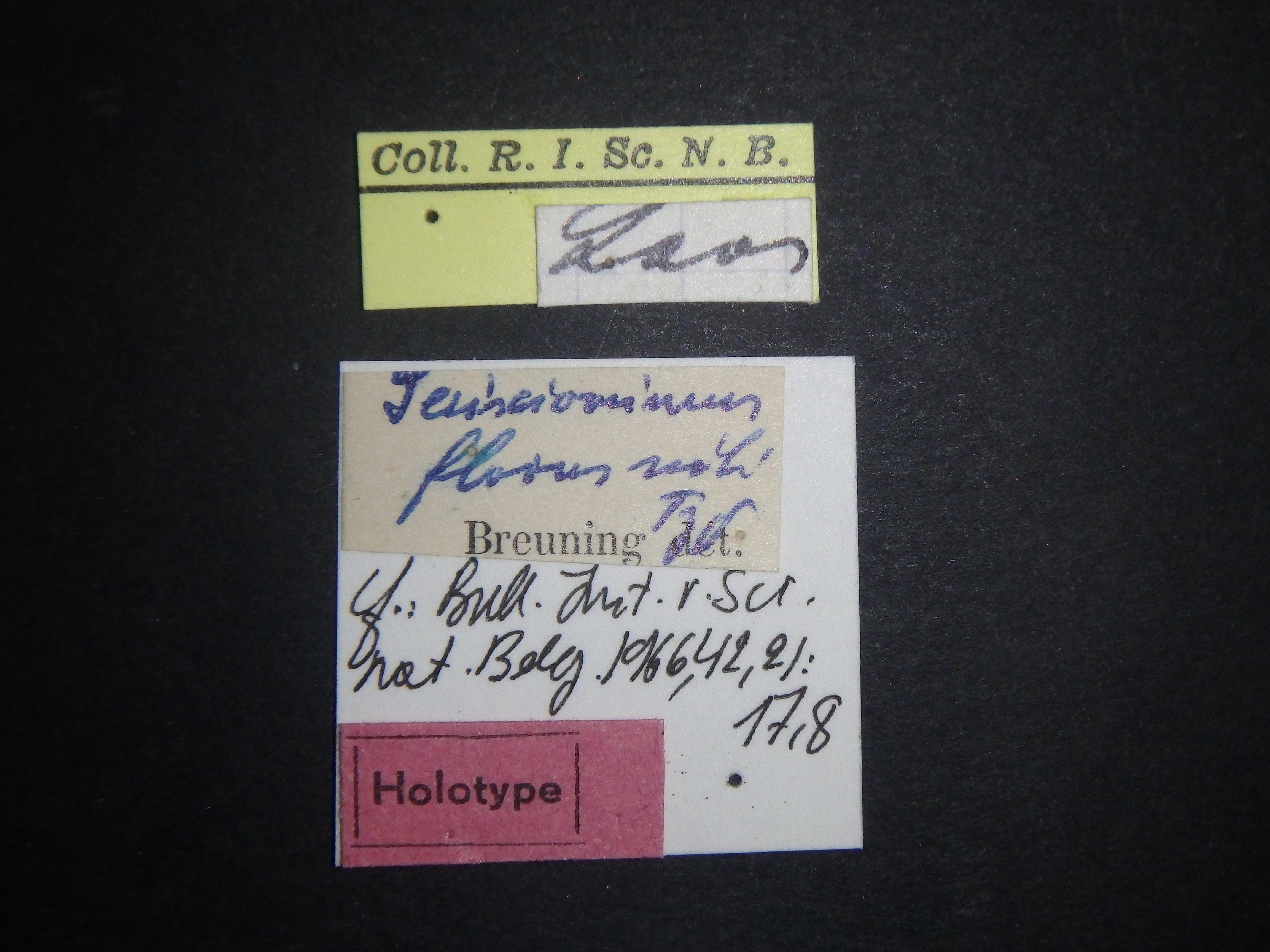 Serixiomimus flavus ht Labels.JPG