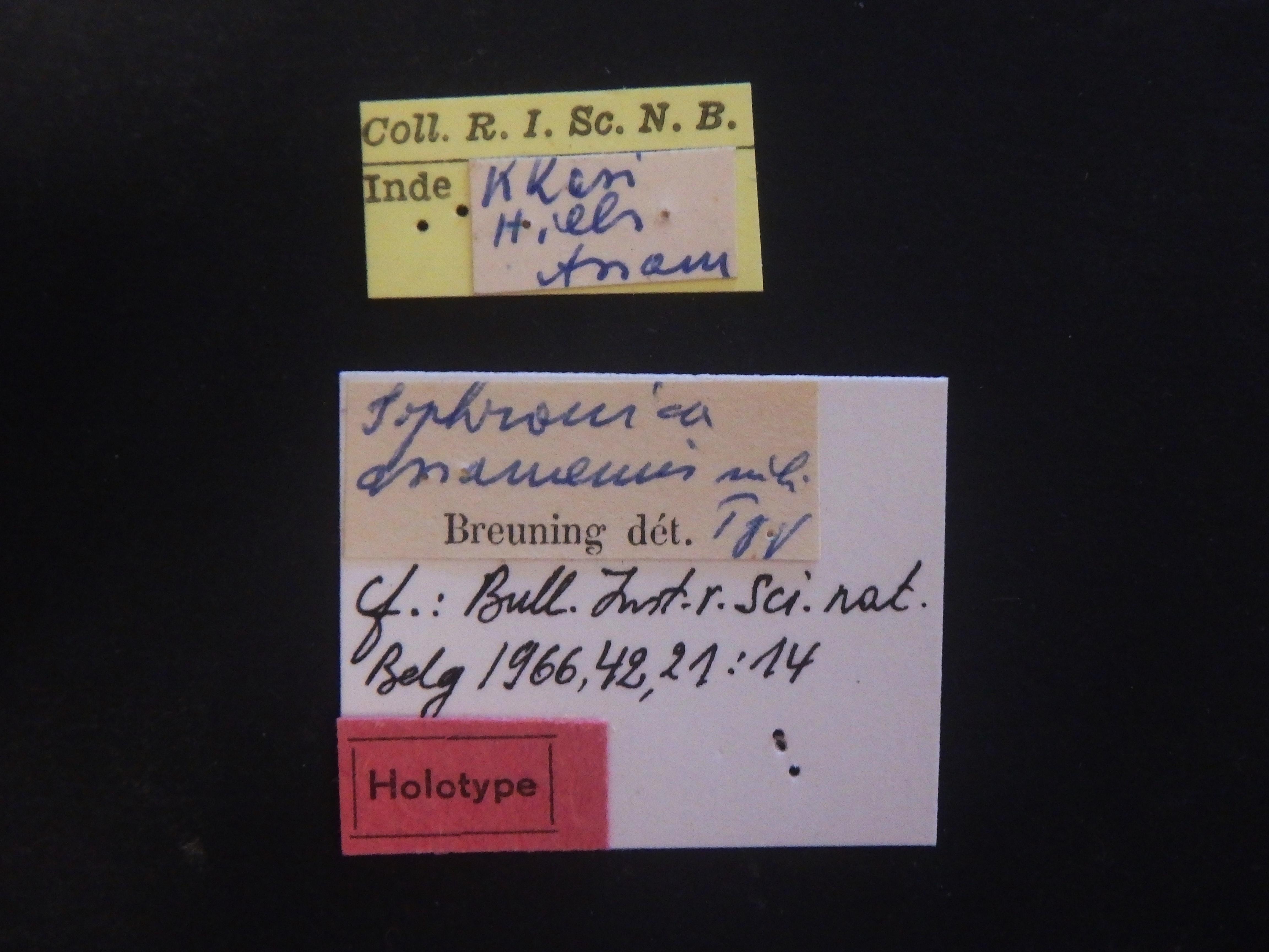 Sophronica assamensis ht Labels.JPG