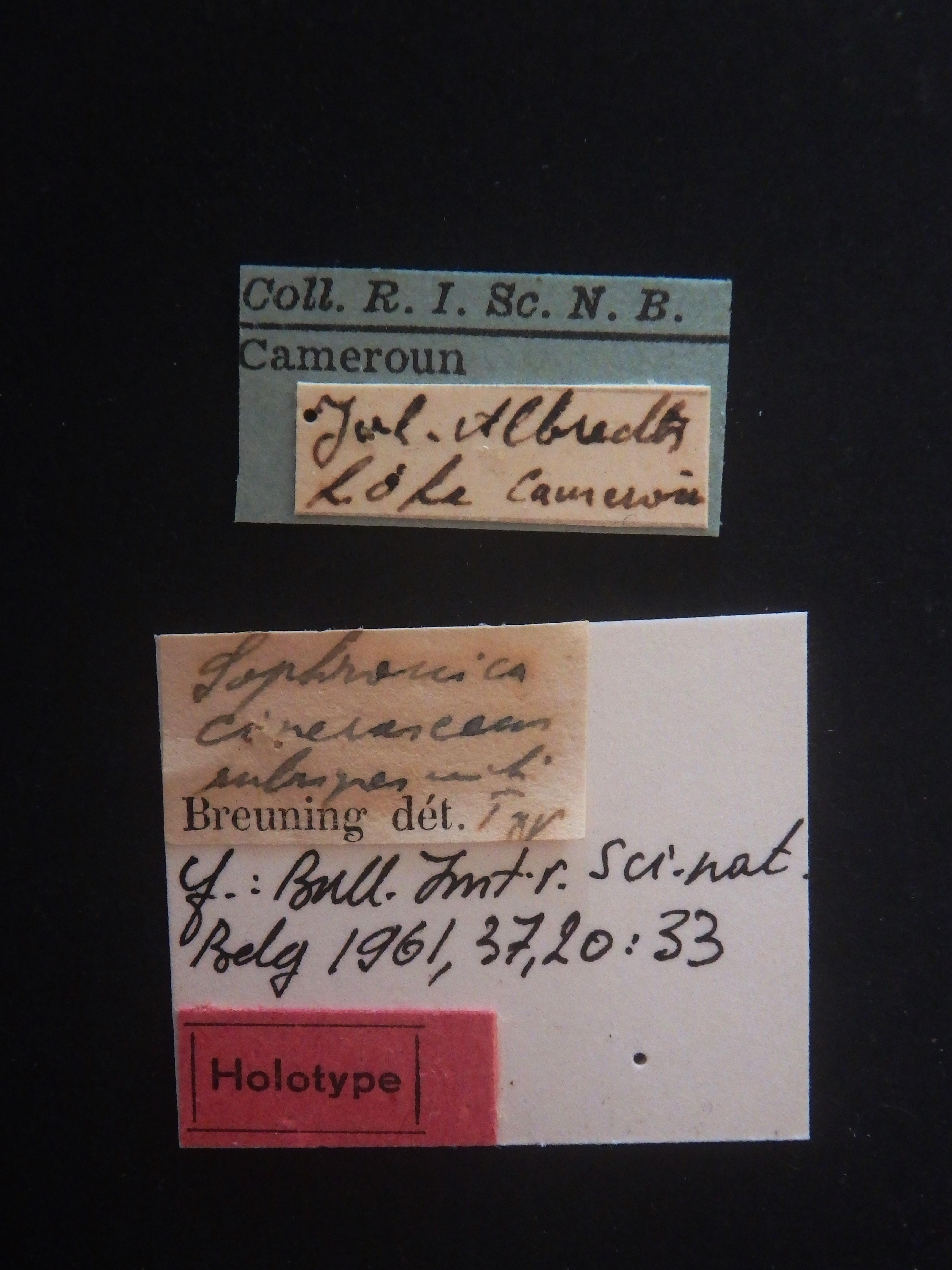 Sophronica cinerascens rubripes ht Labels.JPG