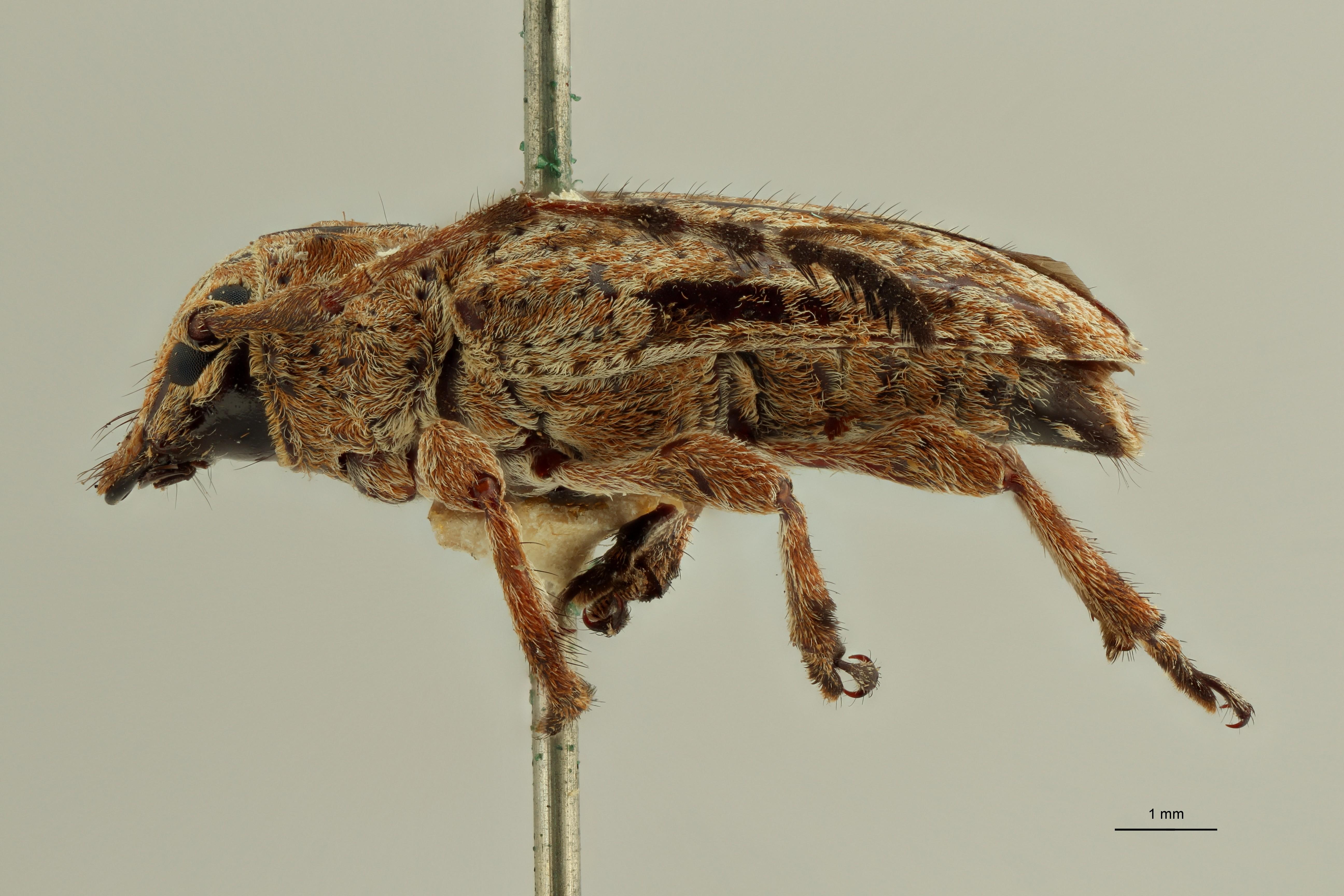 Sychnomerus hirticornis pt1 L ZS PMax Scaled.jpeg
