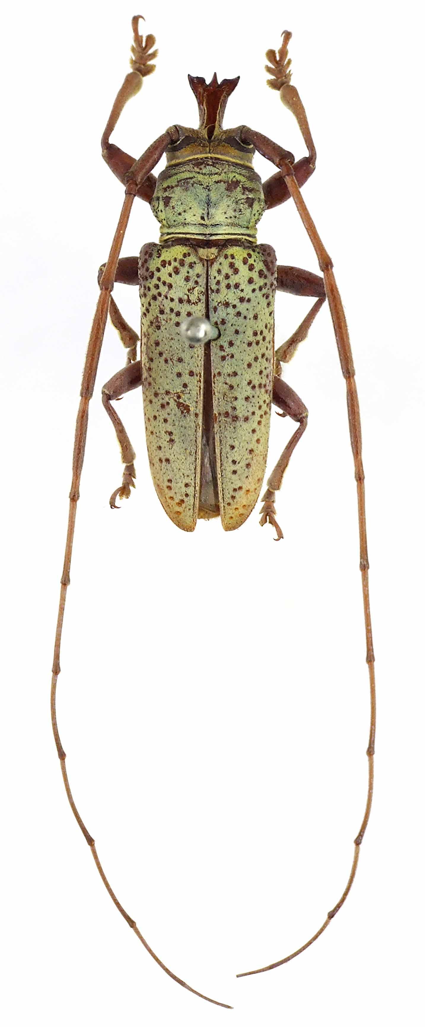 Timoreticus viridis Syn 54403cz07.jpg