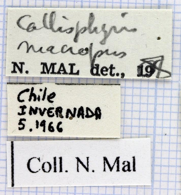 Callisphyris macropus 39720.jpg