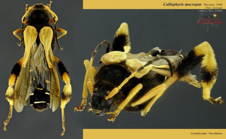 Callisphyris macropus.jpg