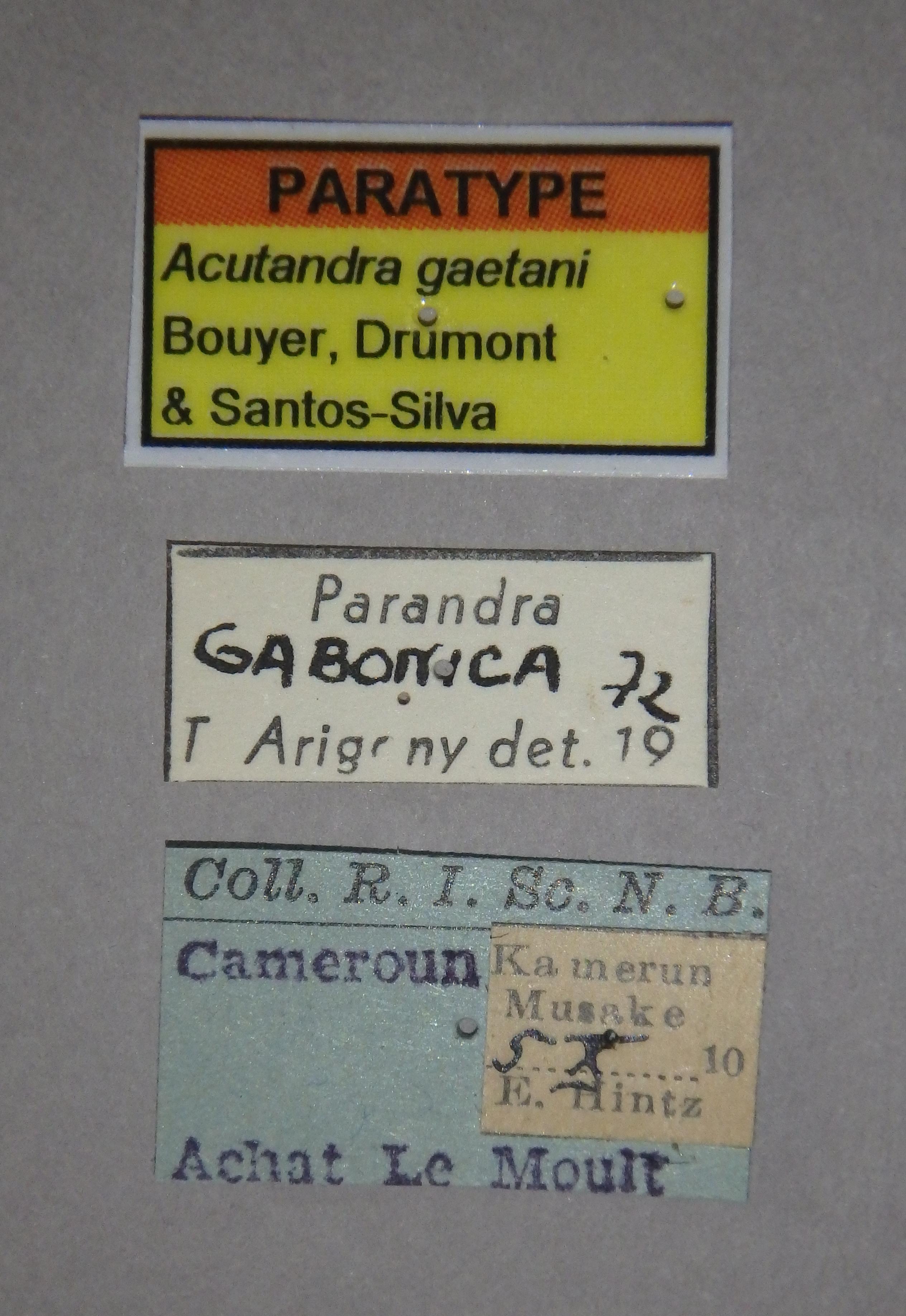 Acutandra gaetani pt2 Lb.JPG