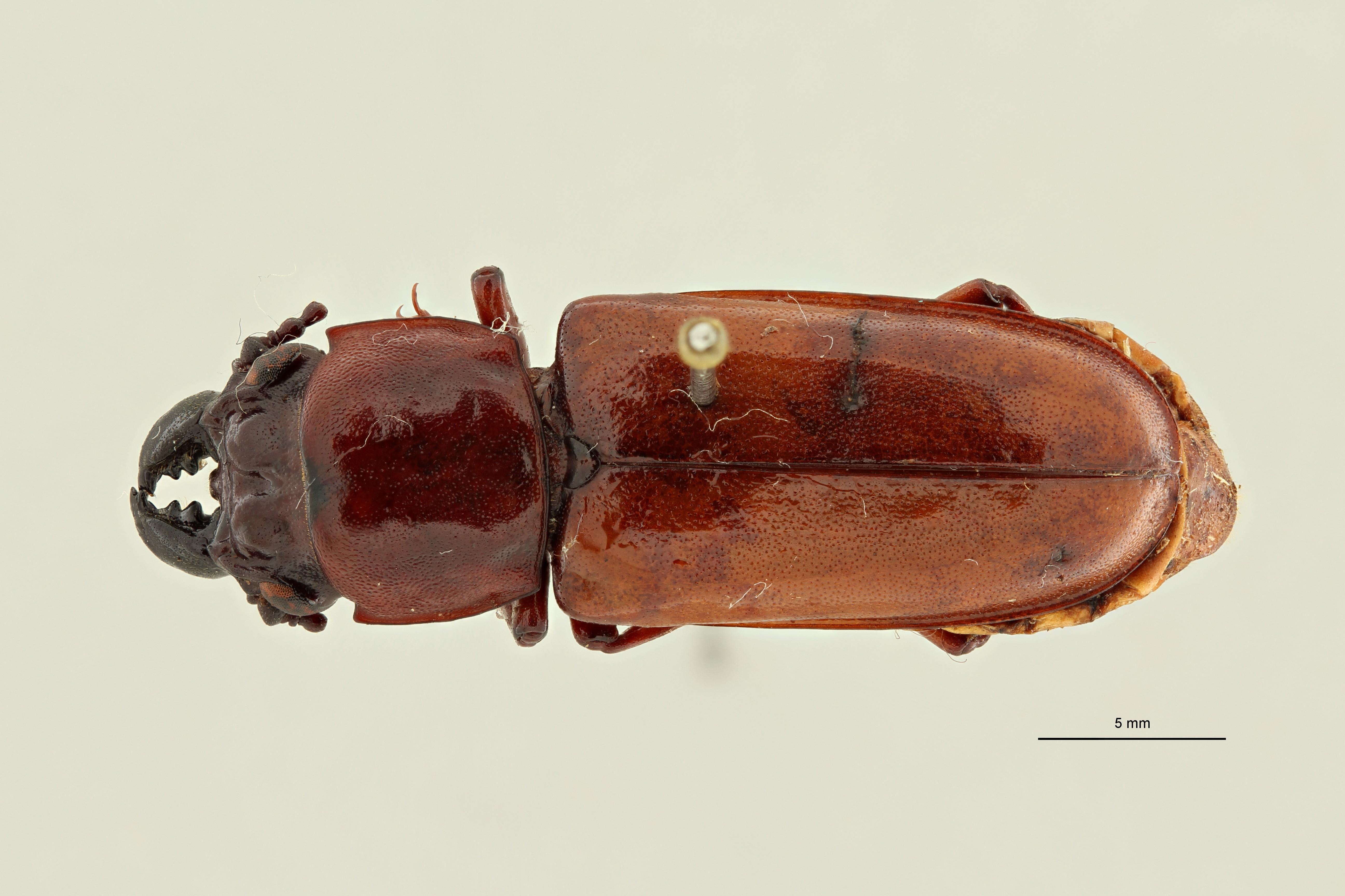 Acutandra gaetani pt1 D ZS PMax Scaled.jpeg