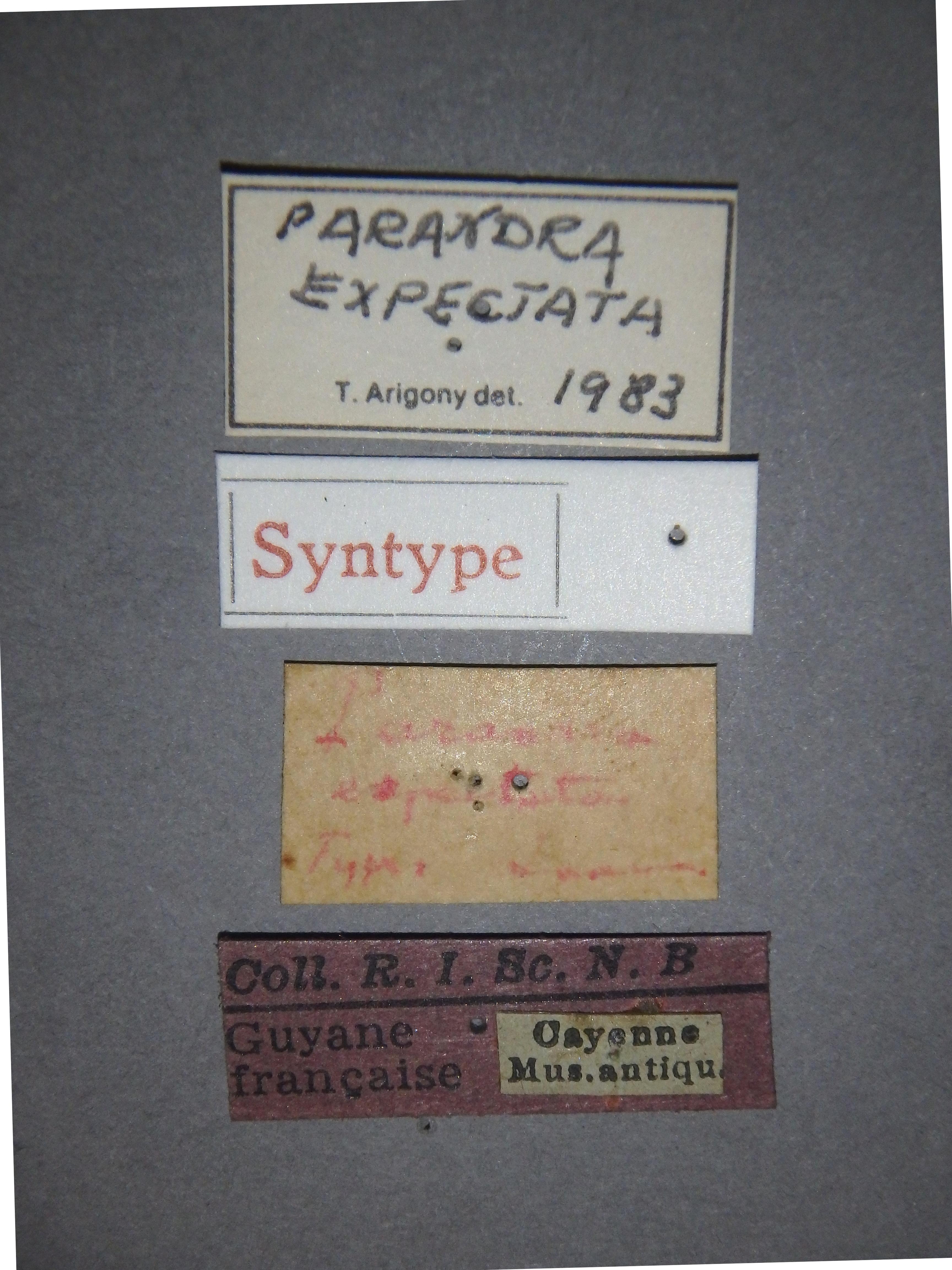 Parandra (Hesperandra) expectata st2 Lb.JPG