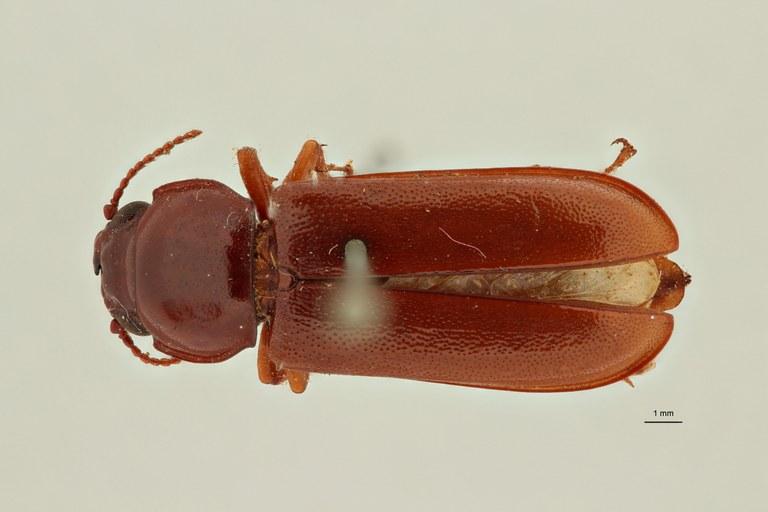 Parandra vitiensis t D ZS PMax Scaled.jpeg