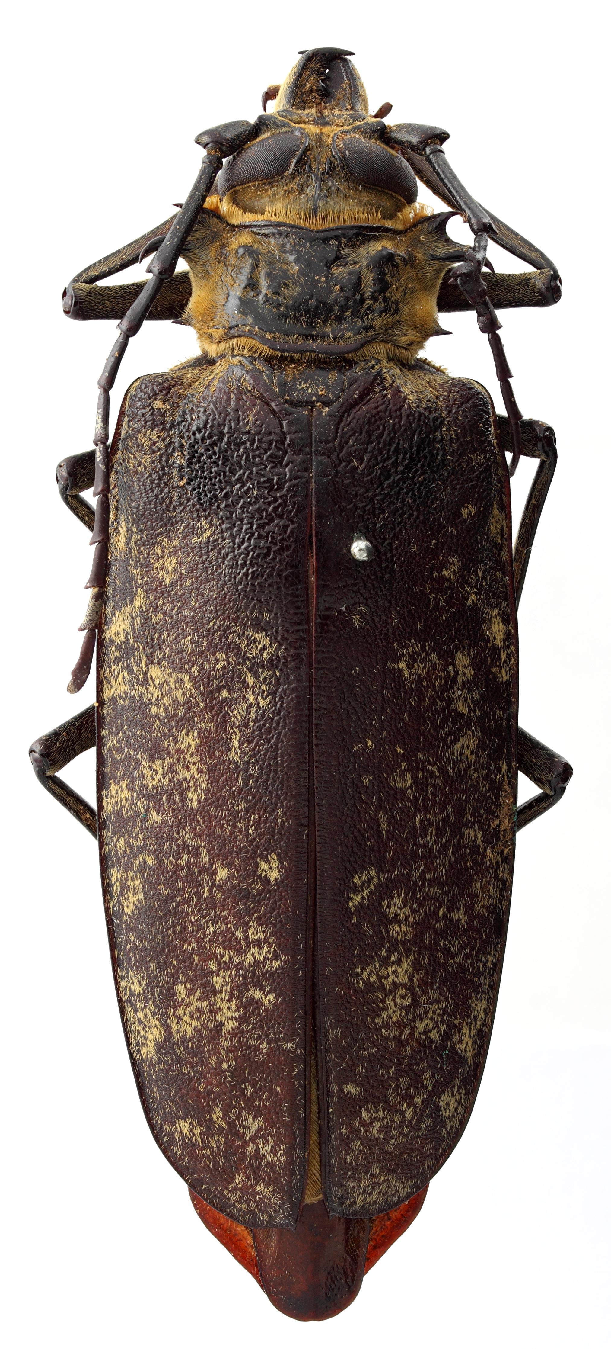 Acanthophorus maculatus orientalis 05 HP Paralectotype F 077 BRUS 201405.jpg