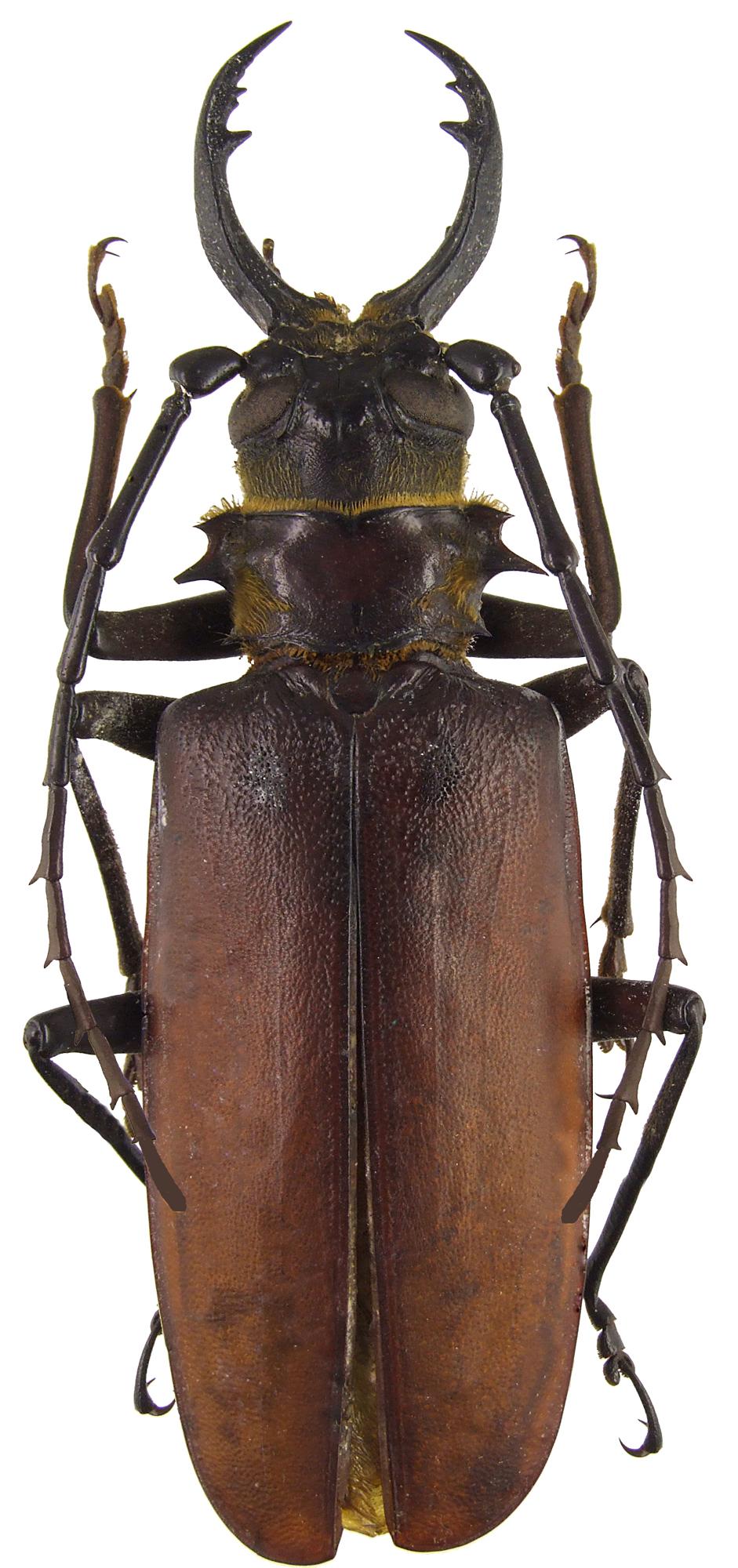 Acanthophorus serraticornis 47375.jpg