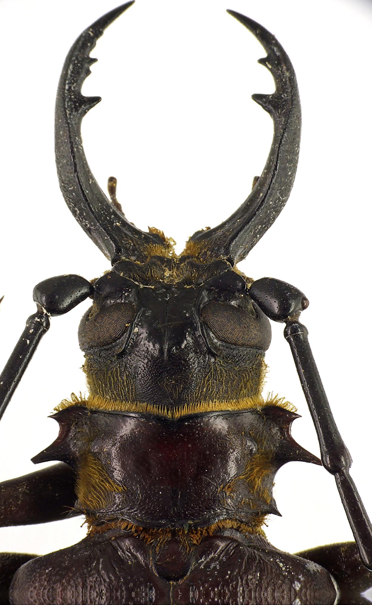 Acanthophorus serraticornis 47376cz79.jpg