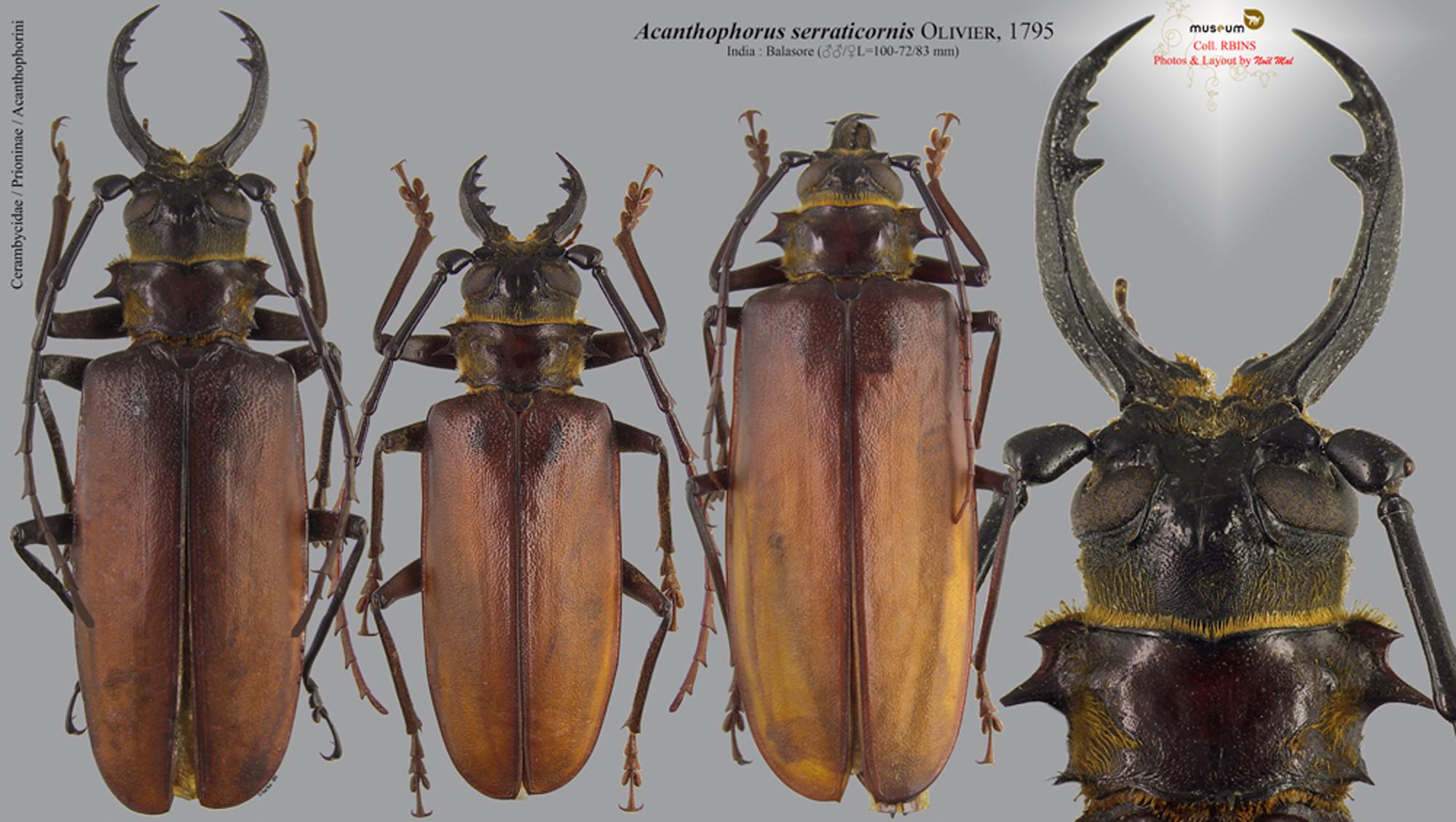 Acanthophorus serraticornis.jpg