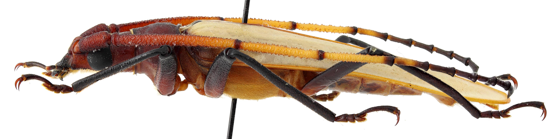 Aegosoma pallida 01 BL Holotype X 049 BRUS 201405.jpg
