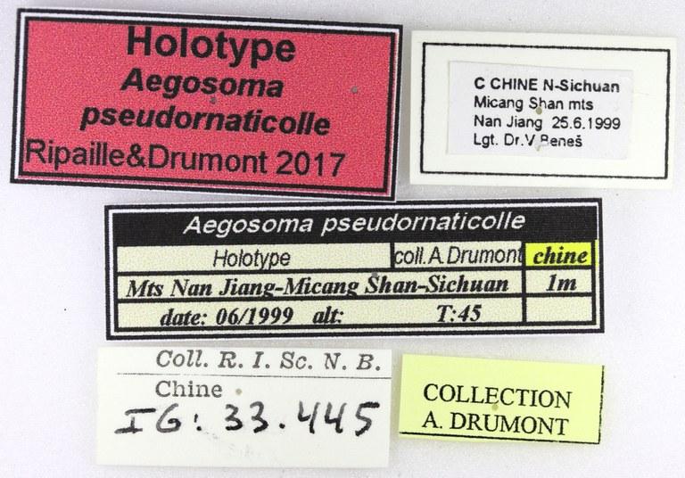 Aegosoma pseudornaticolle ht M Lb.jpg