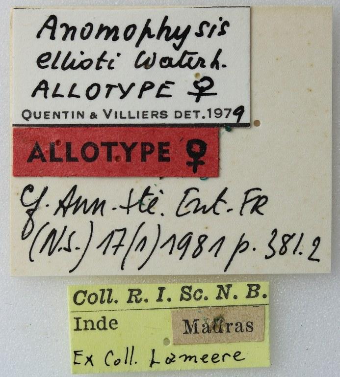 Anomophysis ellioti 02 00 Allotype F 052 BRUS 201405.jpg