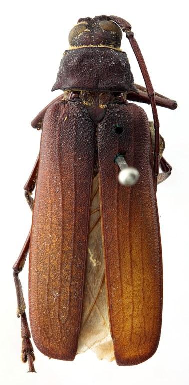 Macrotoma (Navosomopsis) lesnei 03 HP Lectotype F 031 BRUS 201405.jpg