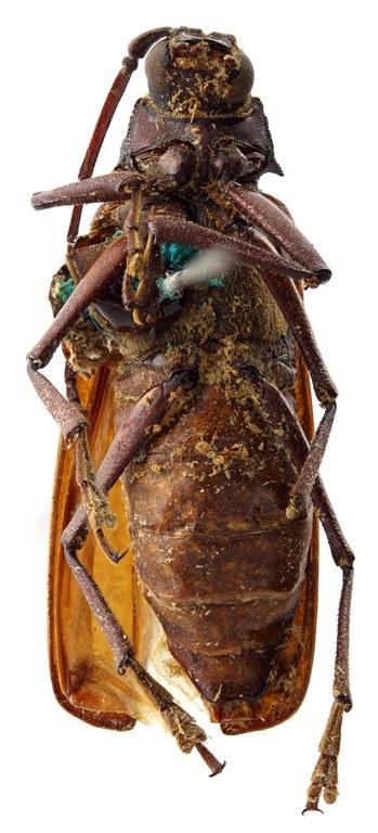 Macrotoma (Navosomopsis) lesnei 03 SP Lectotype F 031 BRUS 201405.jpg