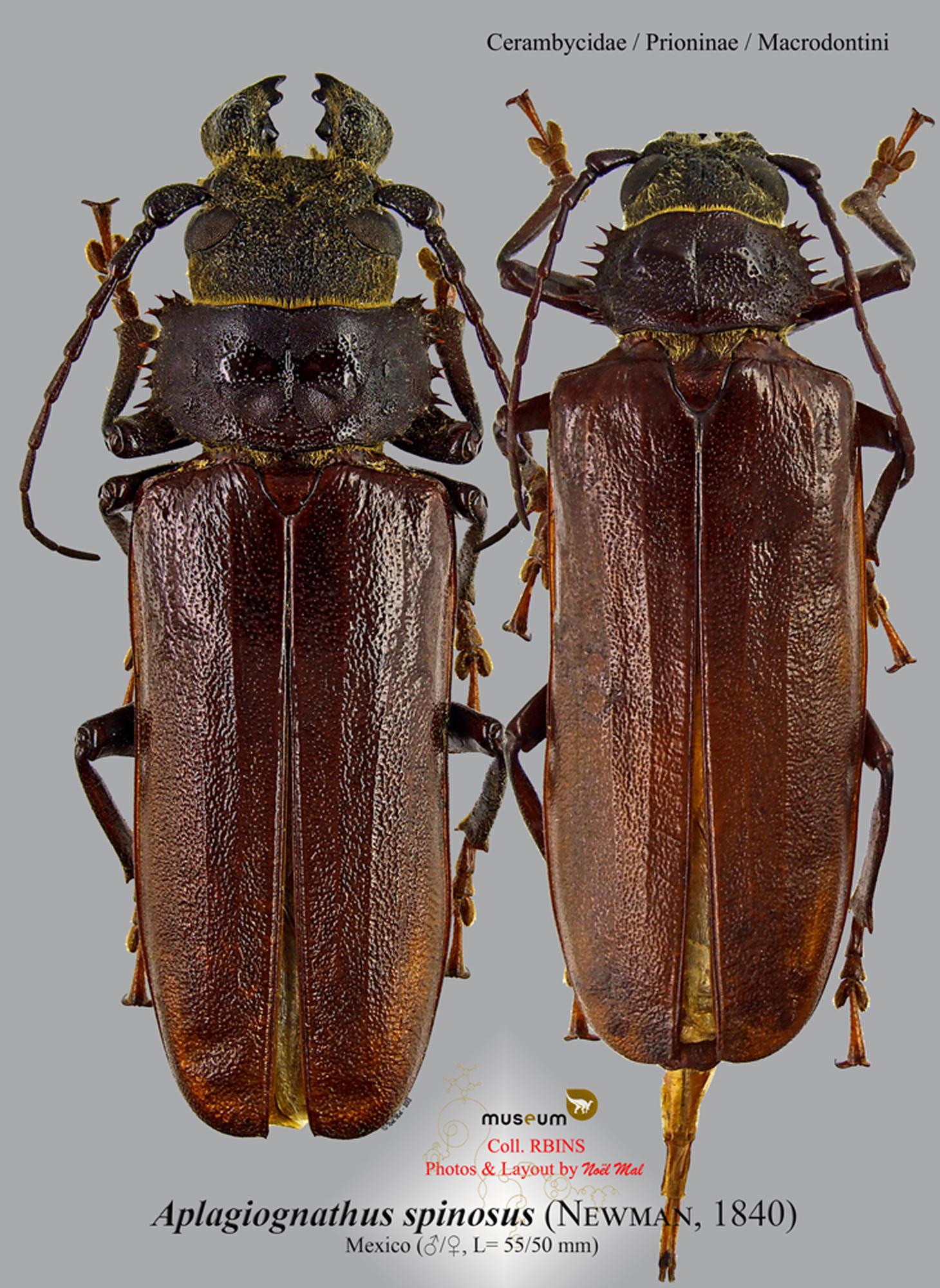 Aplagiognathus spinosus.jpg