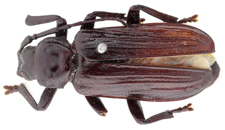 Aulocopus rivalus ht M D.jpg