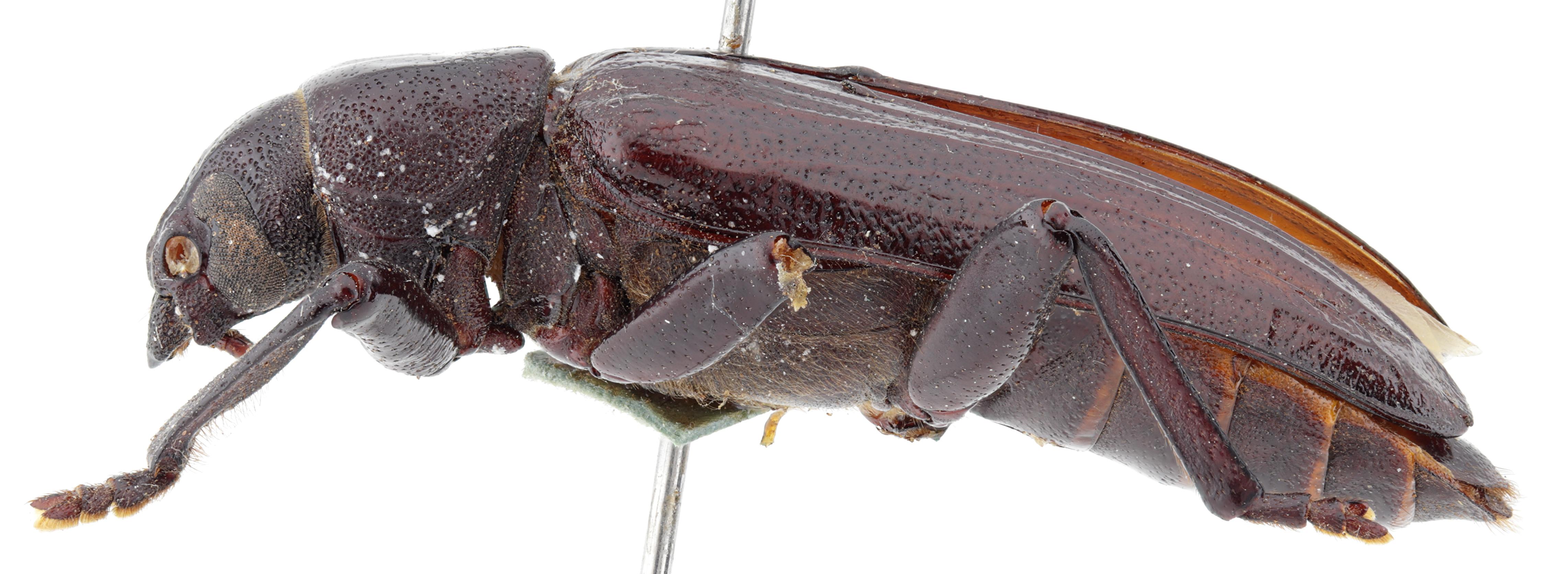 Aulocopus rivalus ht M L.jpg