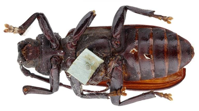 Aulocopus rivalus ht M V.jpg