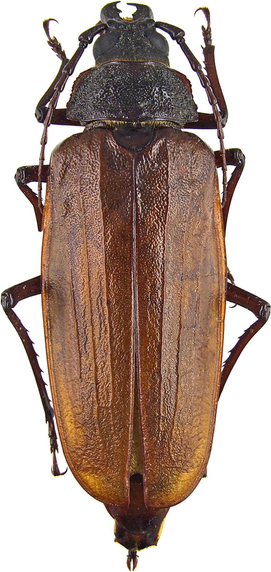 Apotrophus simplicicollis 46267cz70.jpg