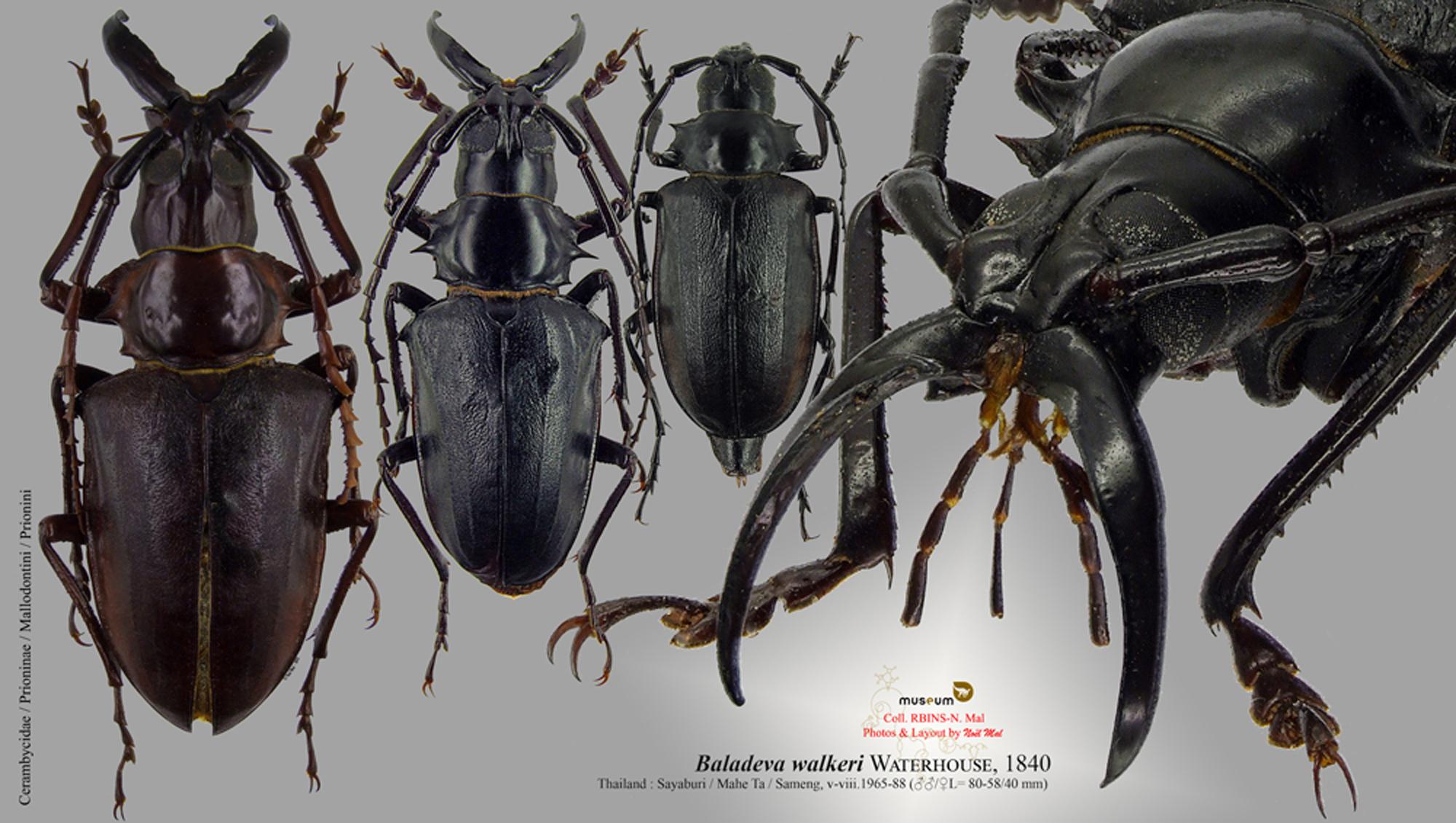 Baladeva walkeri.jpg