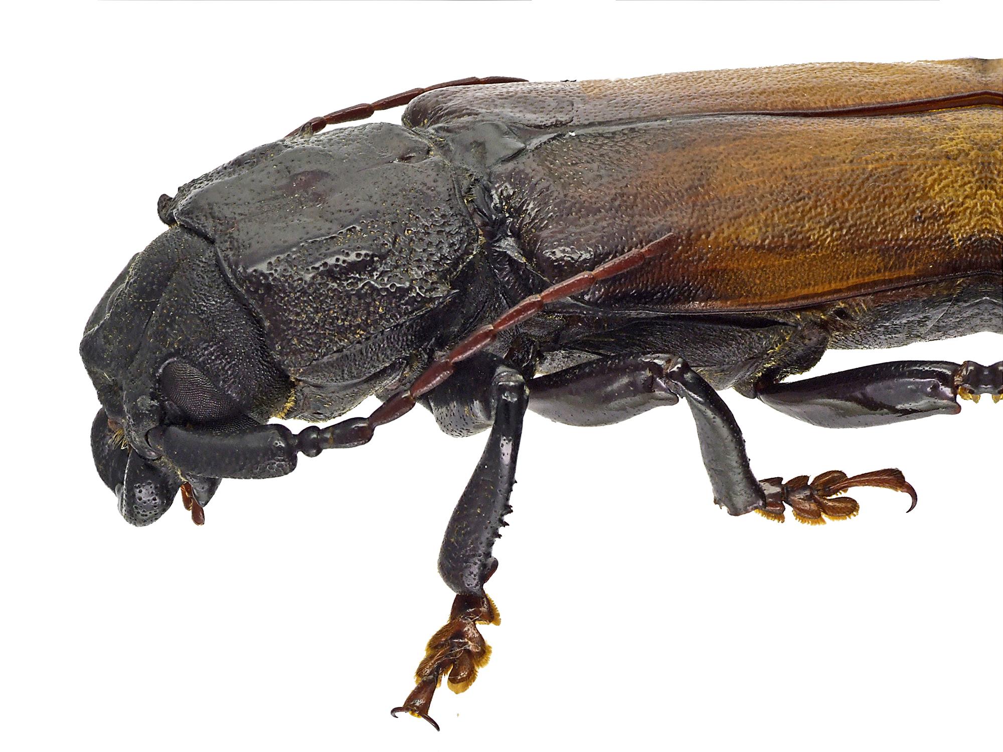 Basitoxus megacephalus 45518cz27.jpg