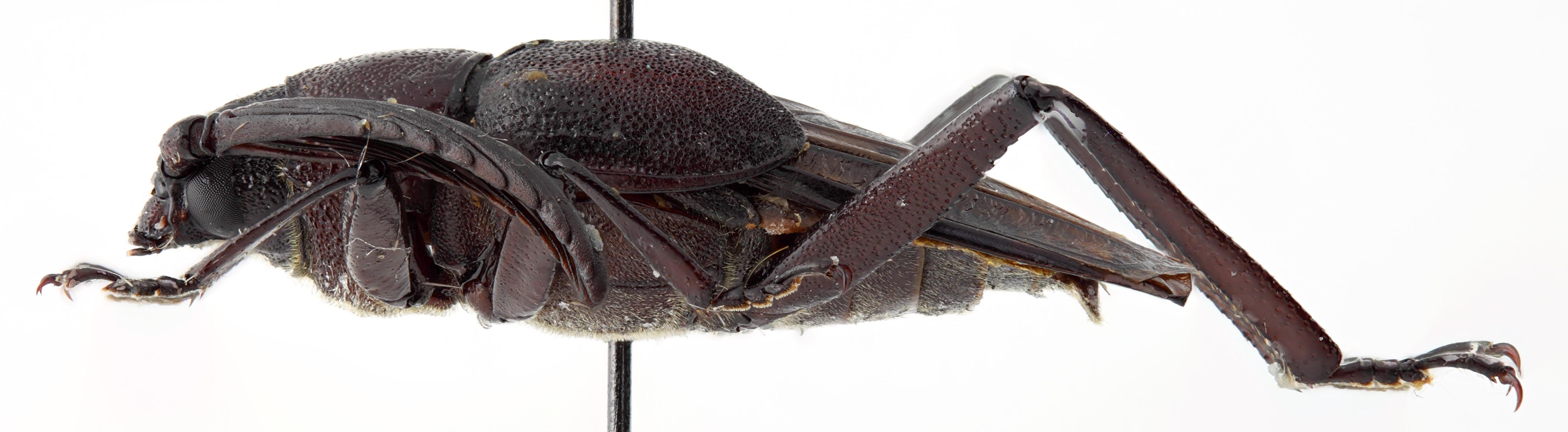 Casiphia vietnamica 02 BL Allotype M 018 BRUS 201405.jpg
