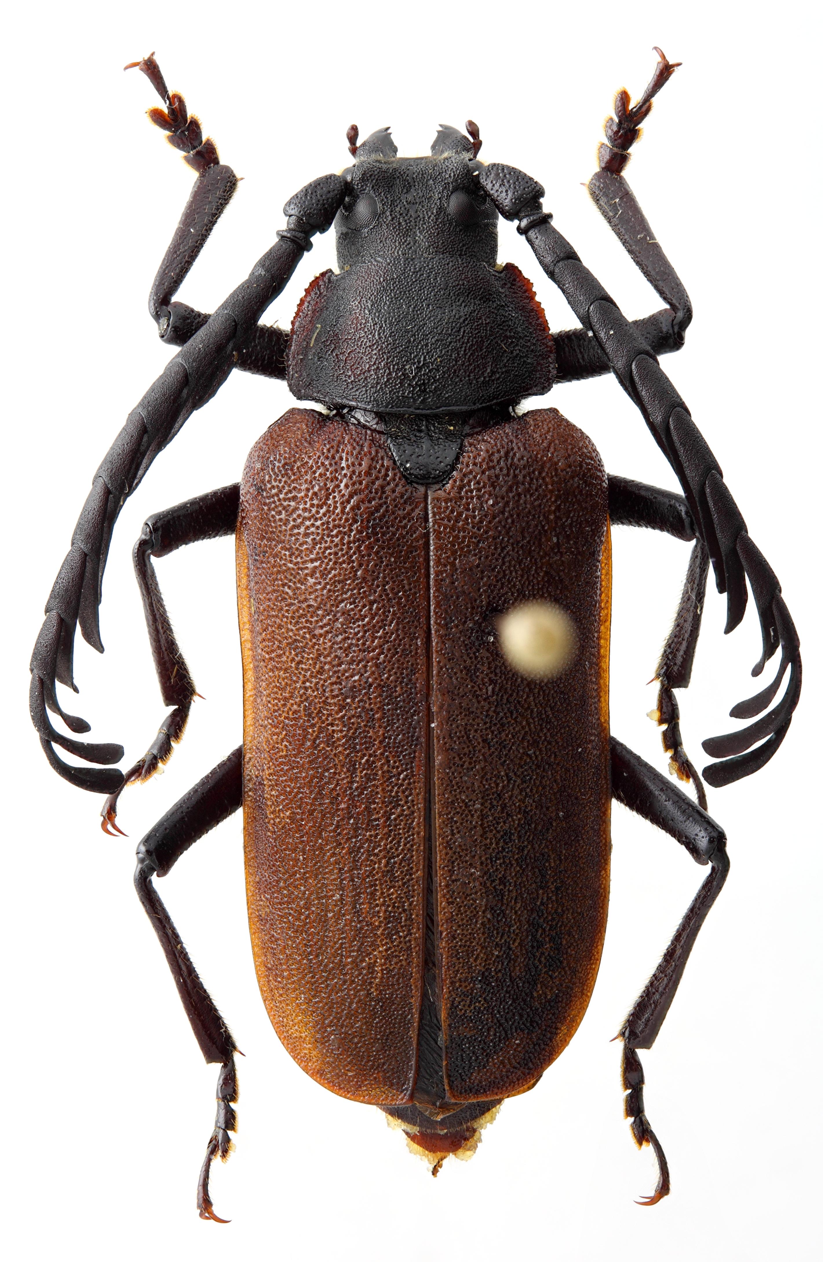 Casiphia yunnana 01 HP Holotype M 025 BRUS 201405.jpg