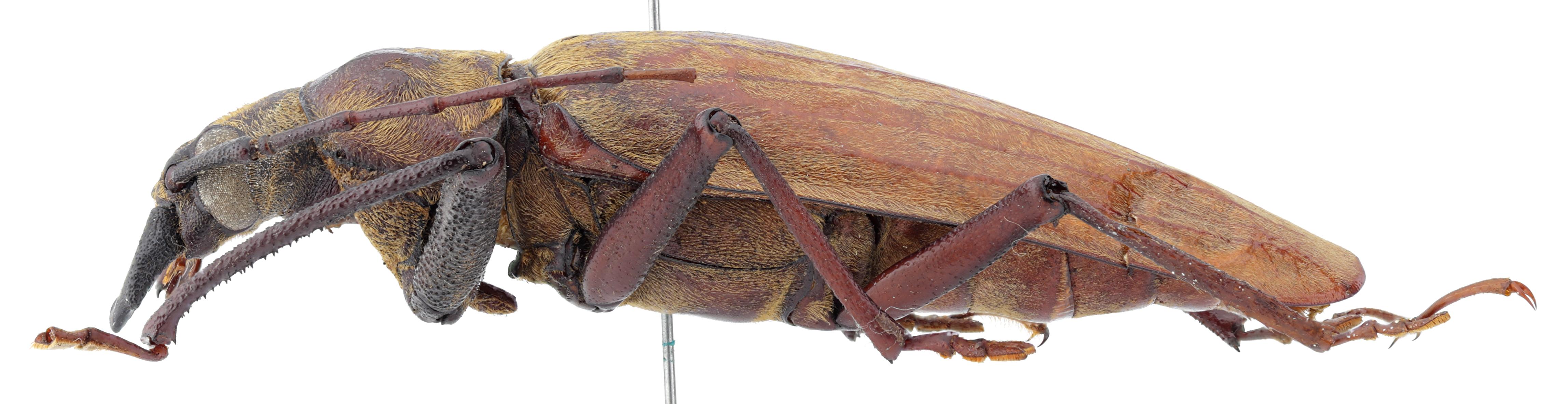 Clinopleurus lansbergei st L.jpg